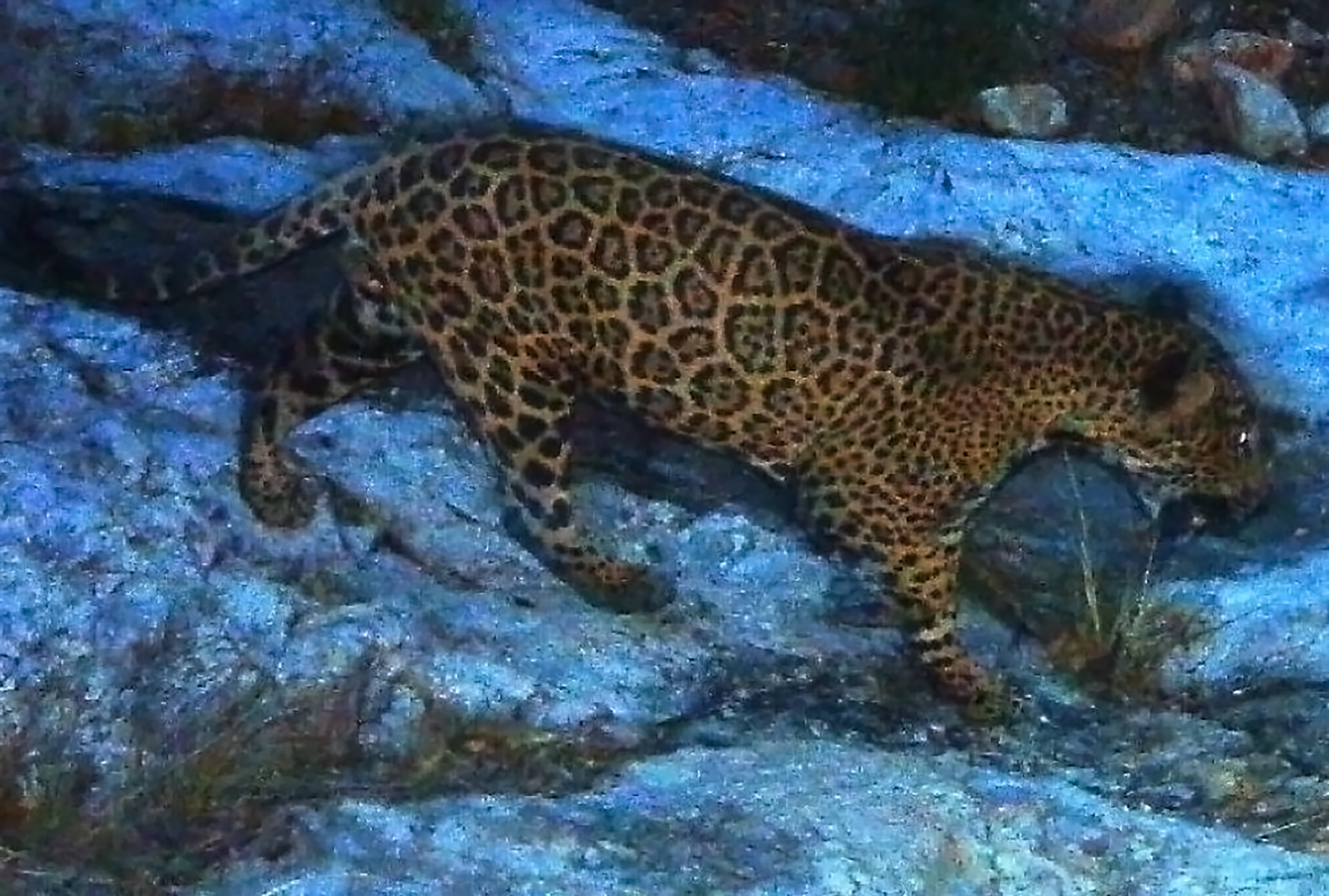 This male jaguar was photographed by a camera trap in the Santa Rita Mountains near Tucson, Arizona in April 2014, as part of a U.S. Fish and Wildlife Service/Department of Homeland Security-funded jaguar survey conducted by University of Arizona. This particular individual has been photographed repeatedly in the Santa Rita Mountains. Photograph courtesy of University of Arizona and the U.S. Fish & Wildlife Service