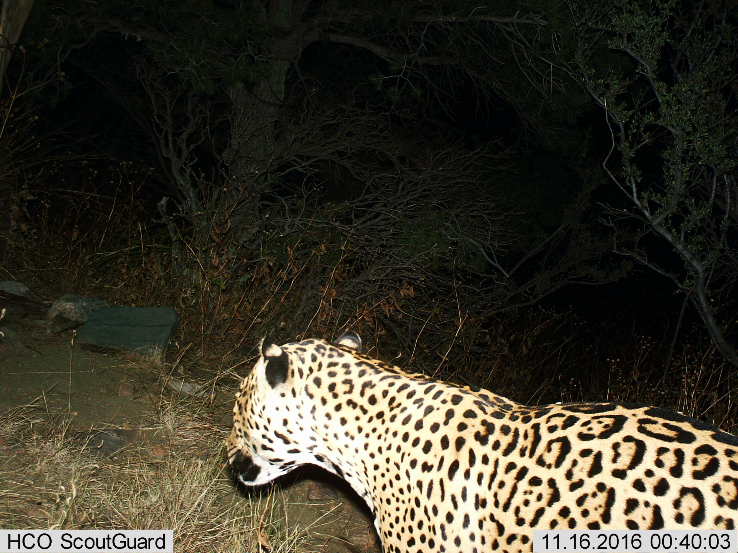 This jaguar was photographed by a camera trap in the Dos Cabezas Mountains of southeastern Arizona in November 2016. This is first photograph of this individual and represents the 7th known jaguar documented in the U.S. since 1996. The sex of the animal can not be determined from the photo. Photograph courtesy of the Bureau of Land Management