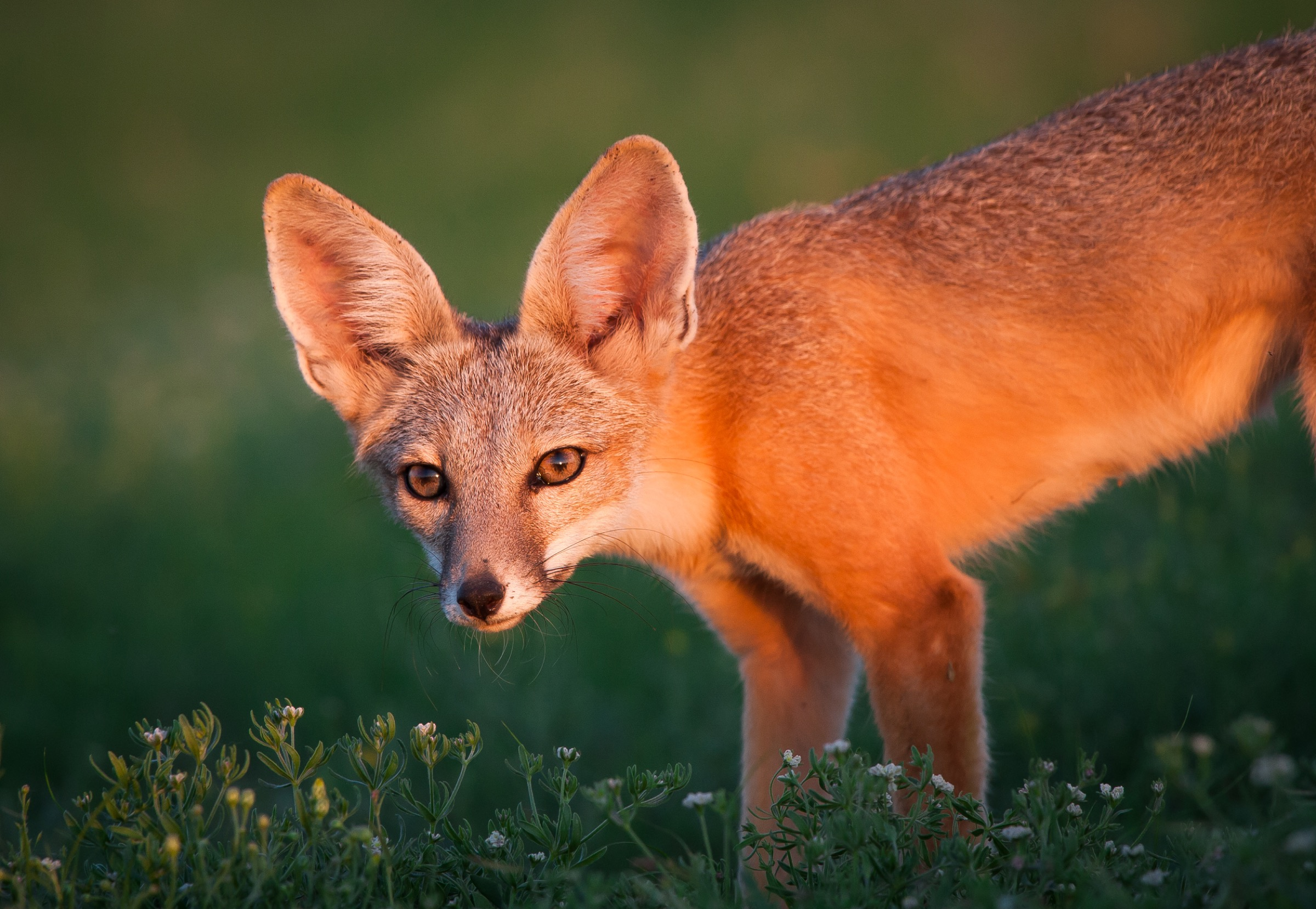 A young kit fox (Vulpes macrotis) stands alert in Janos grassland, Chihuahua, Mexico. This landscape is one of Mexico's newest biosphere reserves, a status that recognizes the area's rich biological diversity. Photograph by Krista Schyler