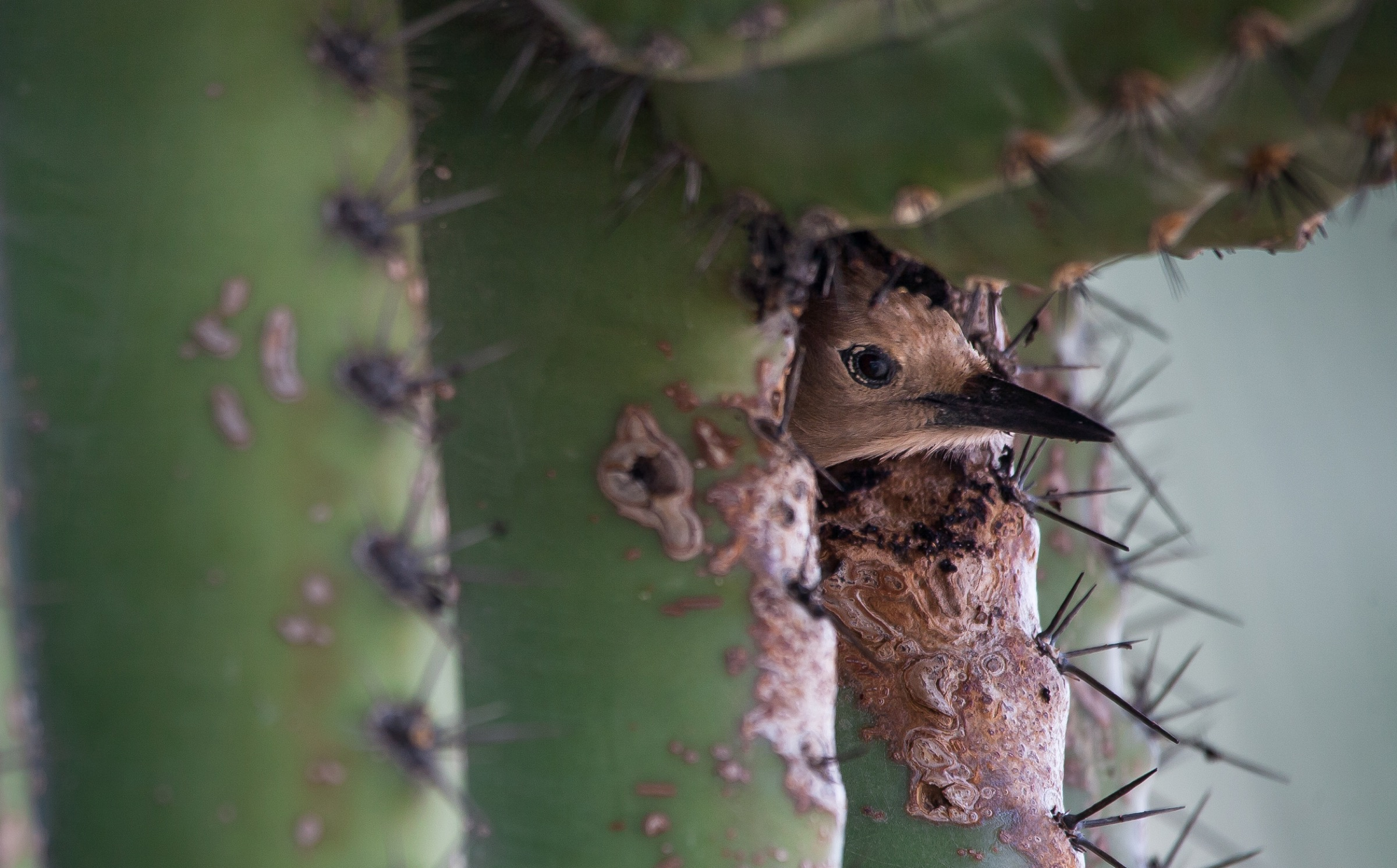 A gila woodpecker (Melanerpes uropygialis) in a saguaro cactus (Carnegiea gigantea) cavity. The saguaro is a keystone plant species in the Sonoran Desert, providing homes and food for many desert species. Photograph by Krista Schyler