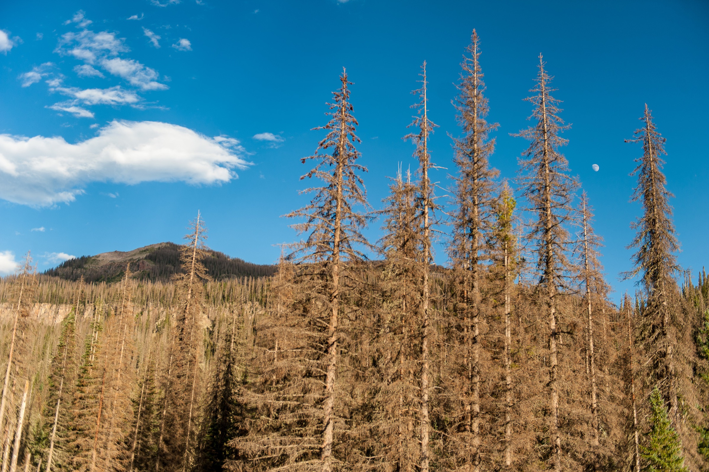 Spruce beetles have killed a vast swath of Engelmann Spruce on Wolf Creek Pass in Colorado's San Juan Mountains. Photograph by Michael Kodas