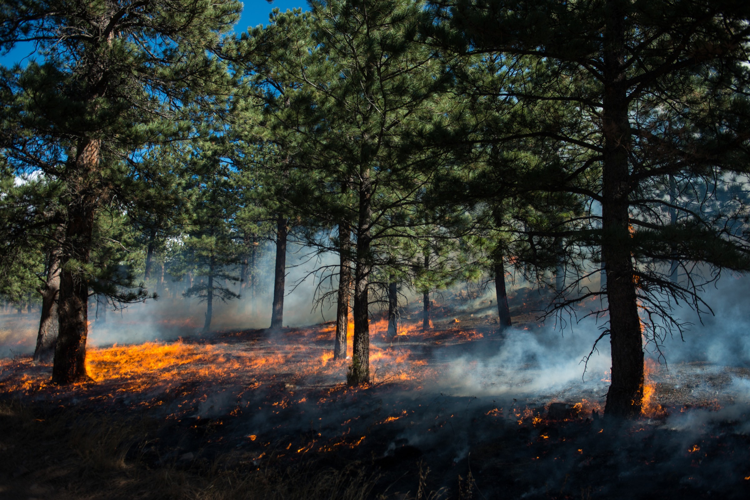 Flames creep among the ponderosa pine in Heil Valley Ranch, outside Boulder. The prescribed burn in October 2014 was the first allowed in the state since a 2012 prescribed burn re-ignited after firefighters had extinguished it. That fire, the Lower North Fork Fire, killed three residents and destroyed more than 20 homes. In forests that have a history of frequent, low-intensity ground fires, prescribed burns intentionally set by firefighters burn away excess vegetation to mimic the impact of historic ground fires and keep the forests from becoming overgrown, unhealthy and more fire-prone. Photograph by Michael Kodas