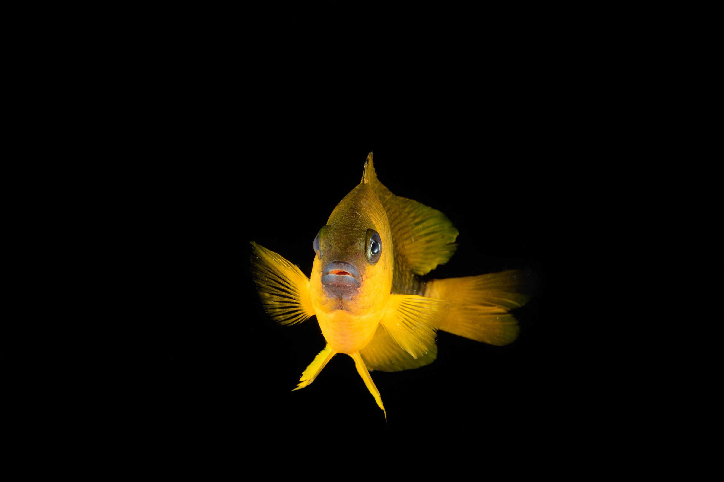 Damselfish (<em>Stegastes sanctipauli</em>)—Photograph by Solvin Zankl