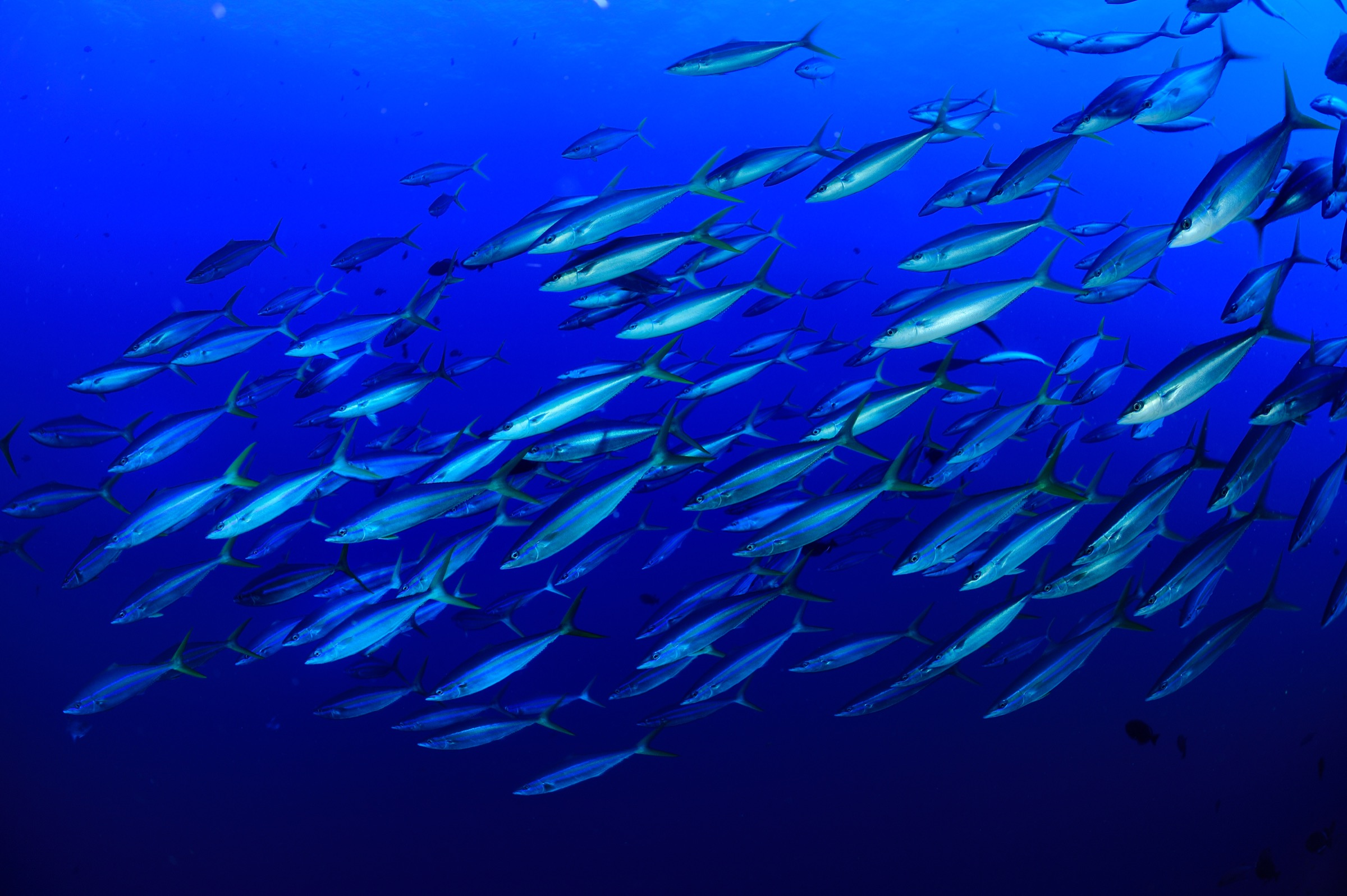 Rainbow runners (Elagatis bipinnulatus) head for deeper water off the coast of Saint Peter and Saint Paul Archipelago—and there's a lot of deep water to be found here. Photograph by Solvin Zankl