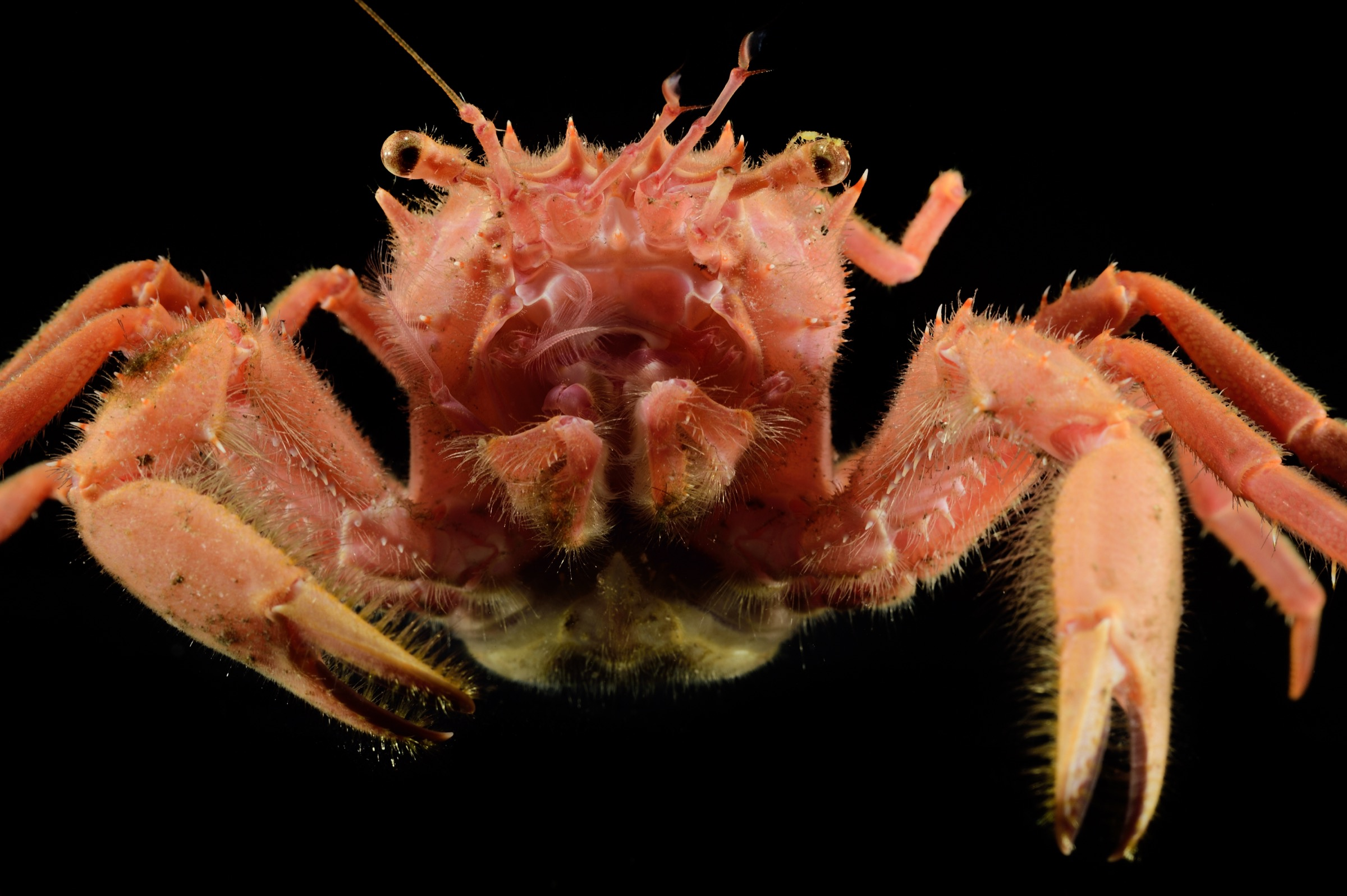 A deep-sea carrier crab (Homolidae sp.) collected by scientists along the steep slopes of Saint Peter and Saint Paul Archipelago. Photograph by Solvin Zankl