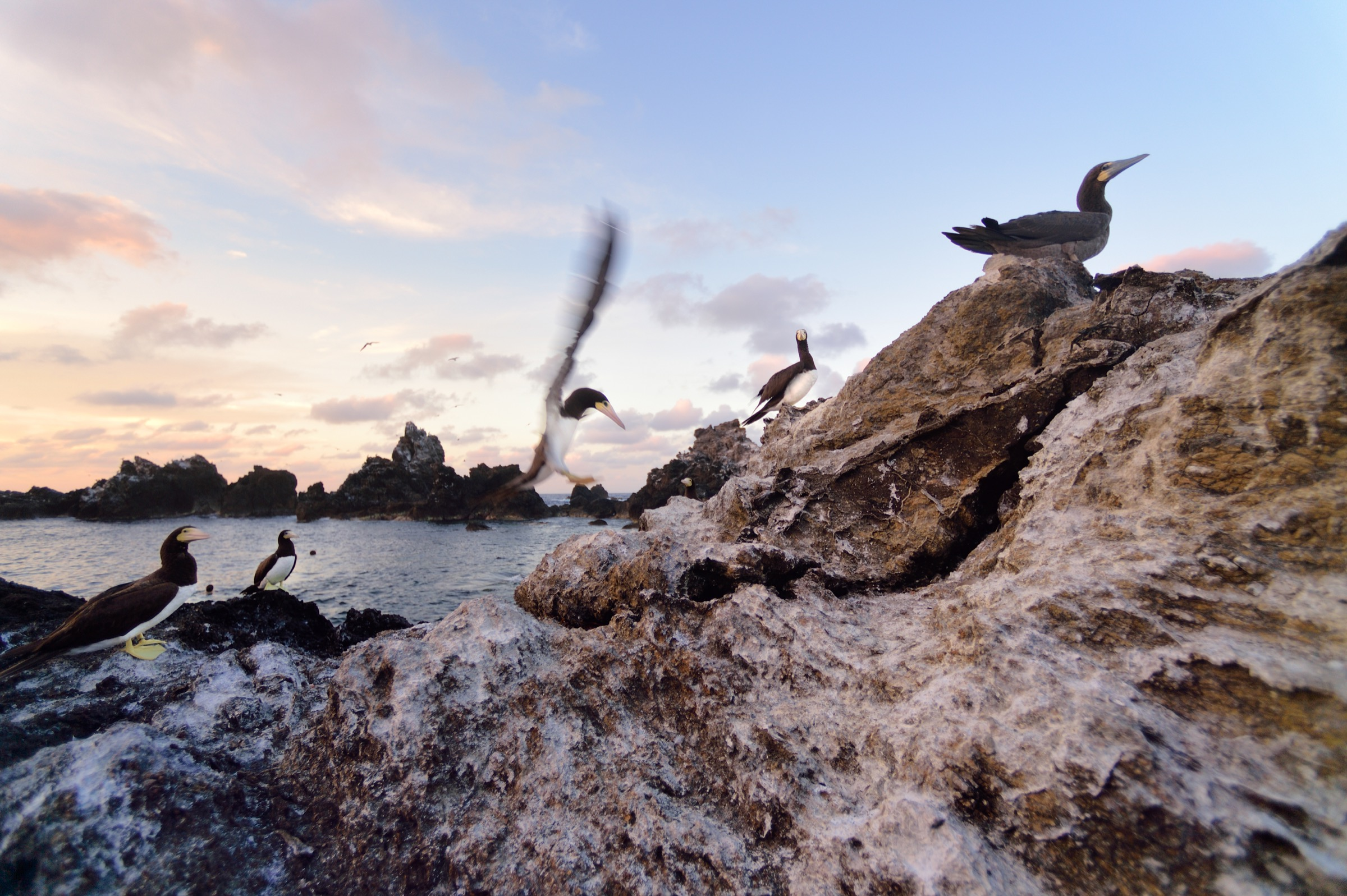 Resident brown boobies (Sula leucogaster) defend their nests on the rocks of Saint Peter and Saint Paul Archipelago. Photograph by Solvin Zankl