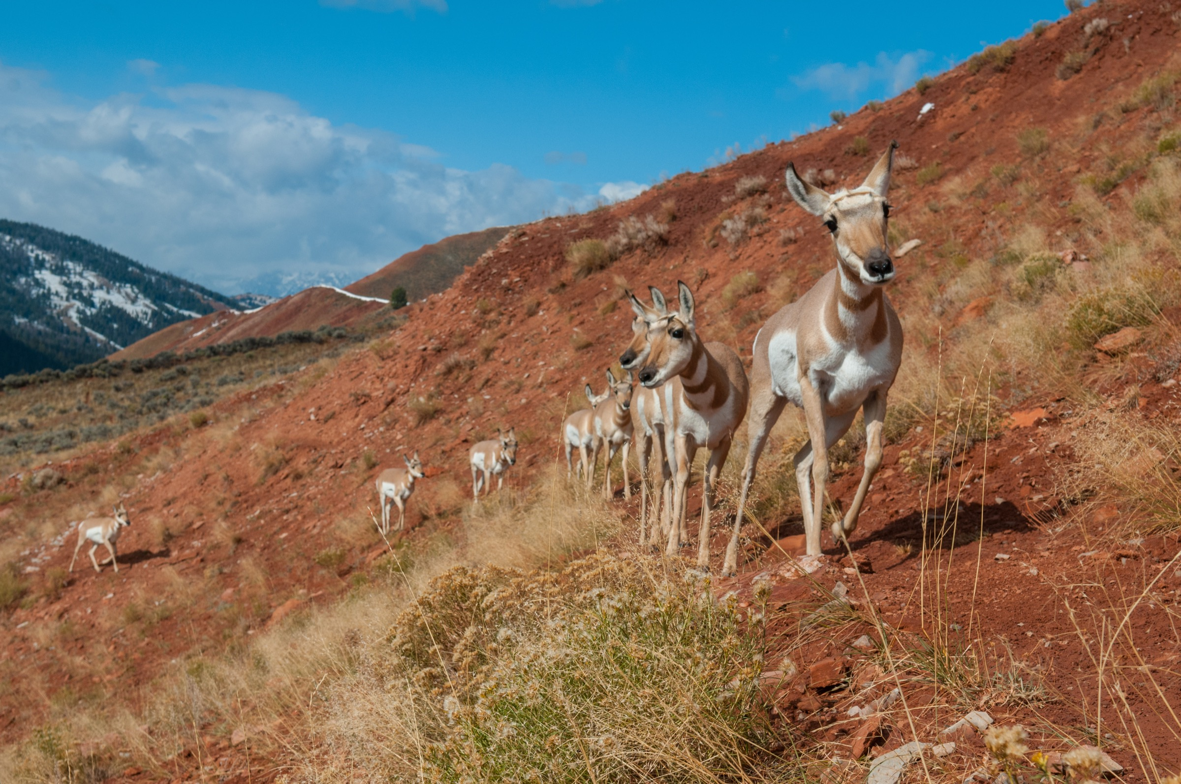 Pronghorn antelope in the red hills of western Wyoming.