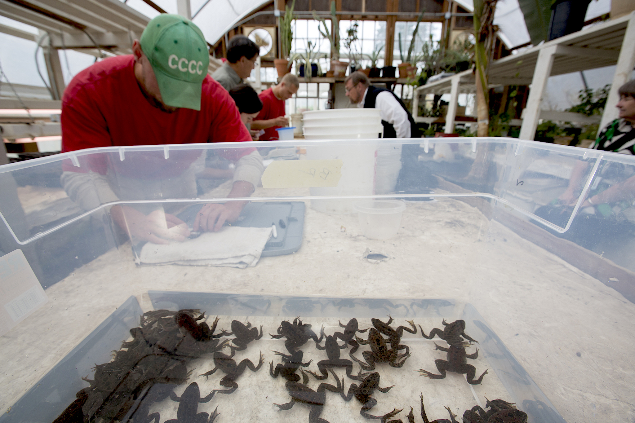 The frog-rearing program operated in a greenhouse on the prison grounds from 2009 to 2015. During this time the inmates raised and released 879 frogs to wetland sites in the Pacific Northwest. The program is currently on hold while scientists assess the breeding success of reared frogs in the wild. Photograph by Cyril Ruoso.