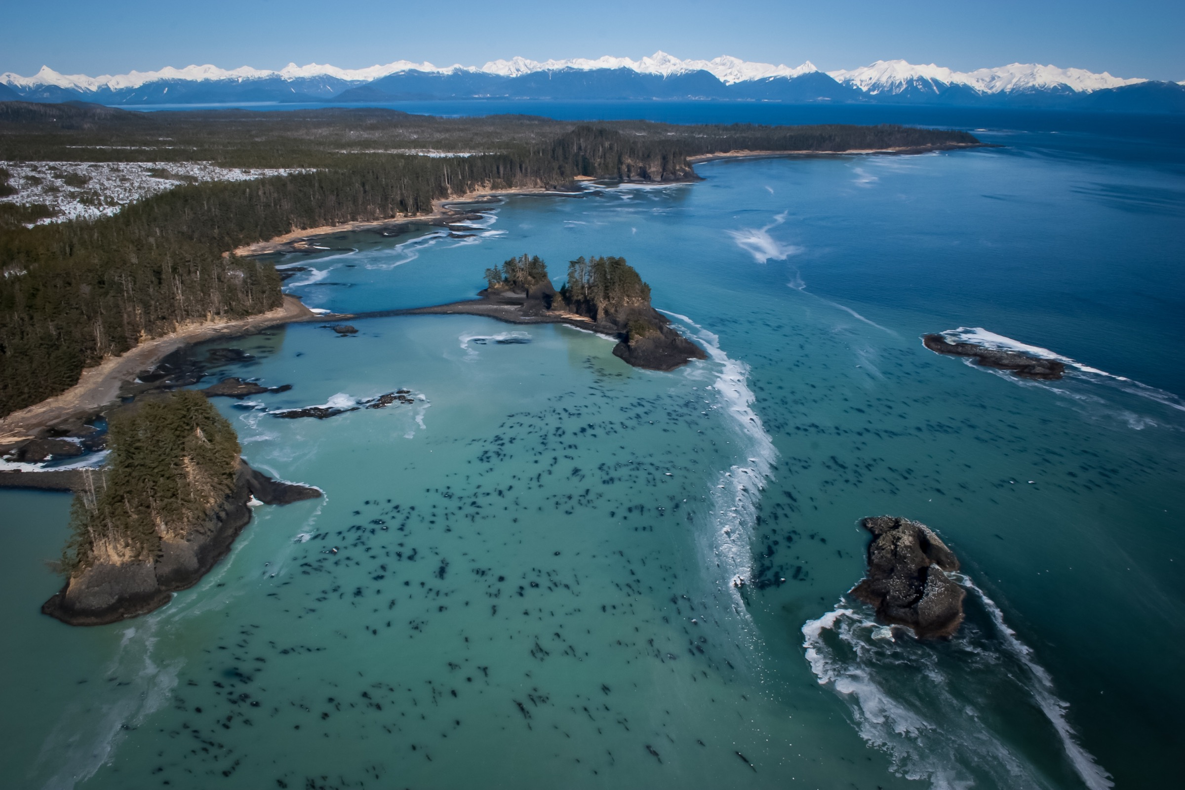 Aerial view of the Alaskan coastline near Sitka, with the sea covered in Pacific herring spawn. Photograph by Hugh Pearson