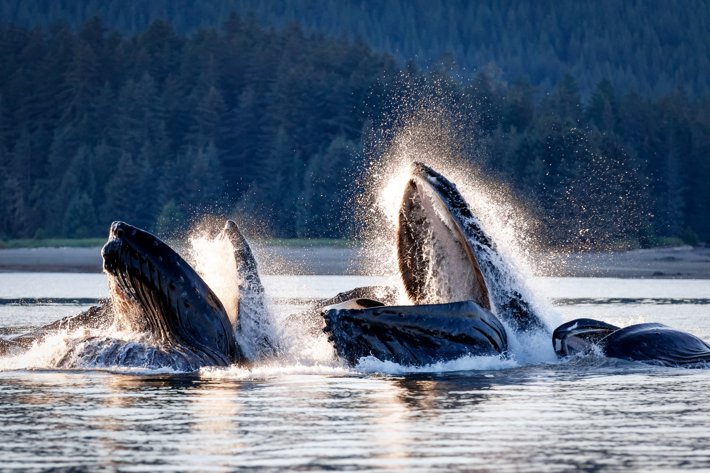 A pod of humpback whales (Megaptera novangliaea) herds herring and other fish with their bubble net feeding technique in Alaska's Chatham Strait. Photograph by Tony Wu