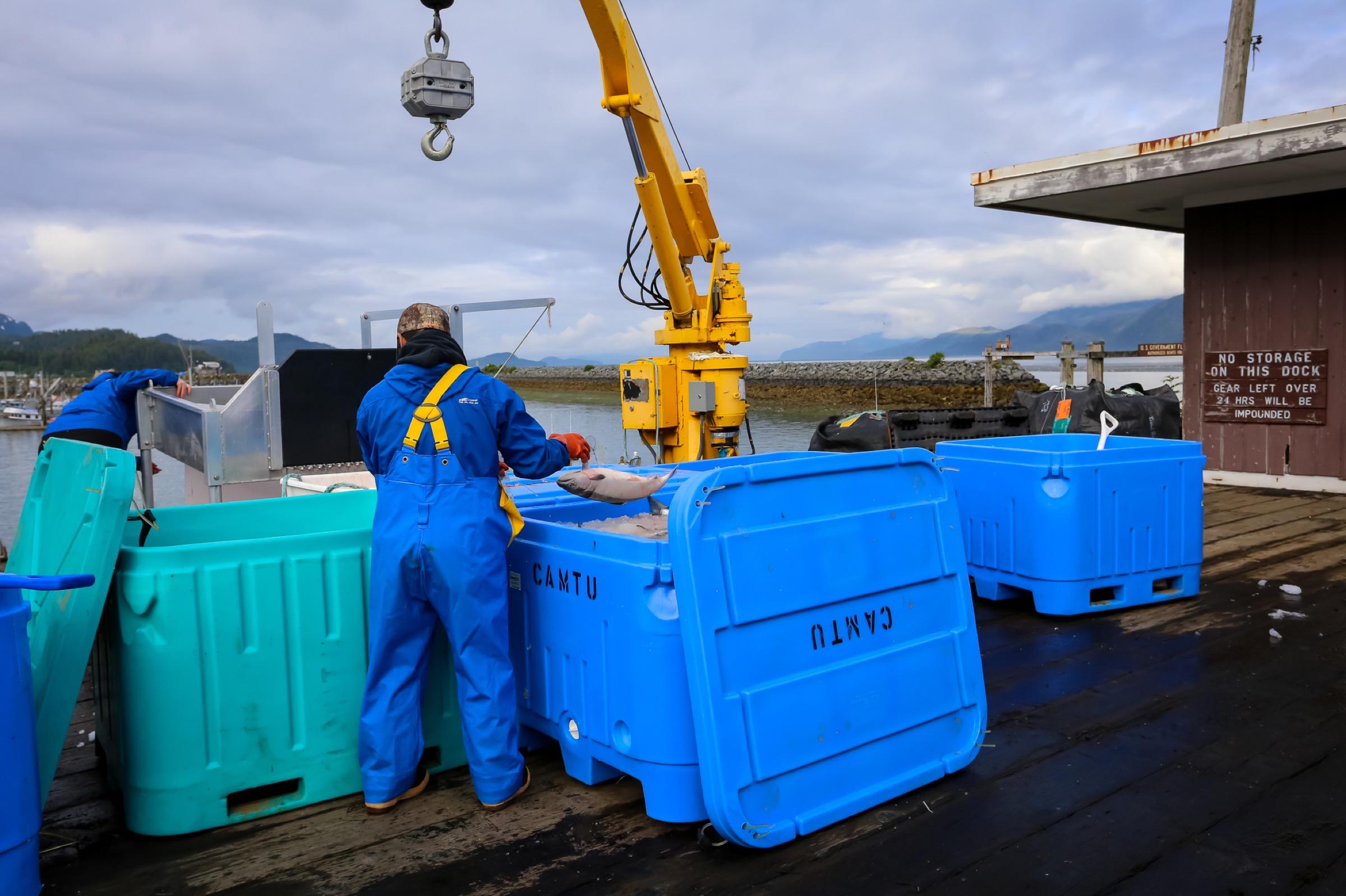 A processor sorts salmon in Cordova's harbor. Photograph by Julia Rosen