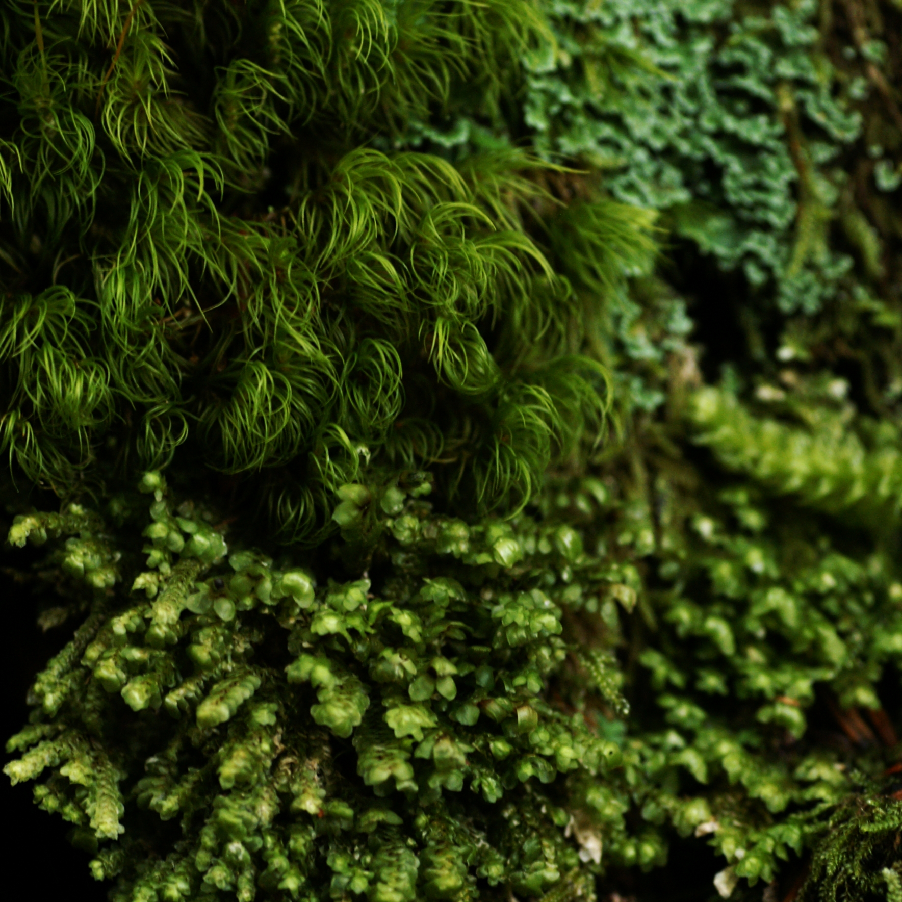 Moss and liverworts thrive in the lush forests of Washington State. Photograph by Minette Layne.