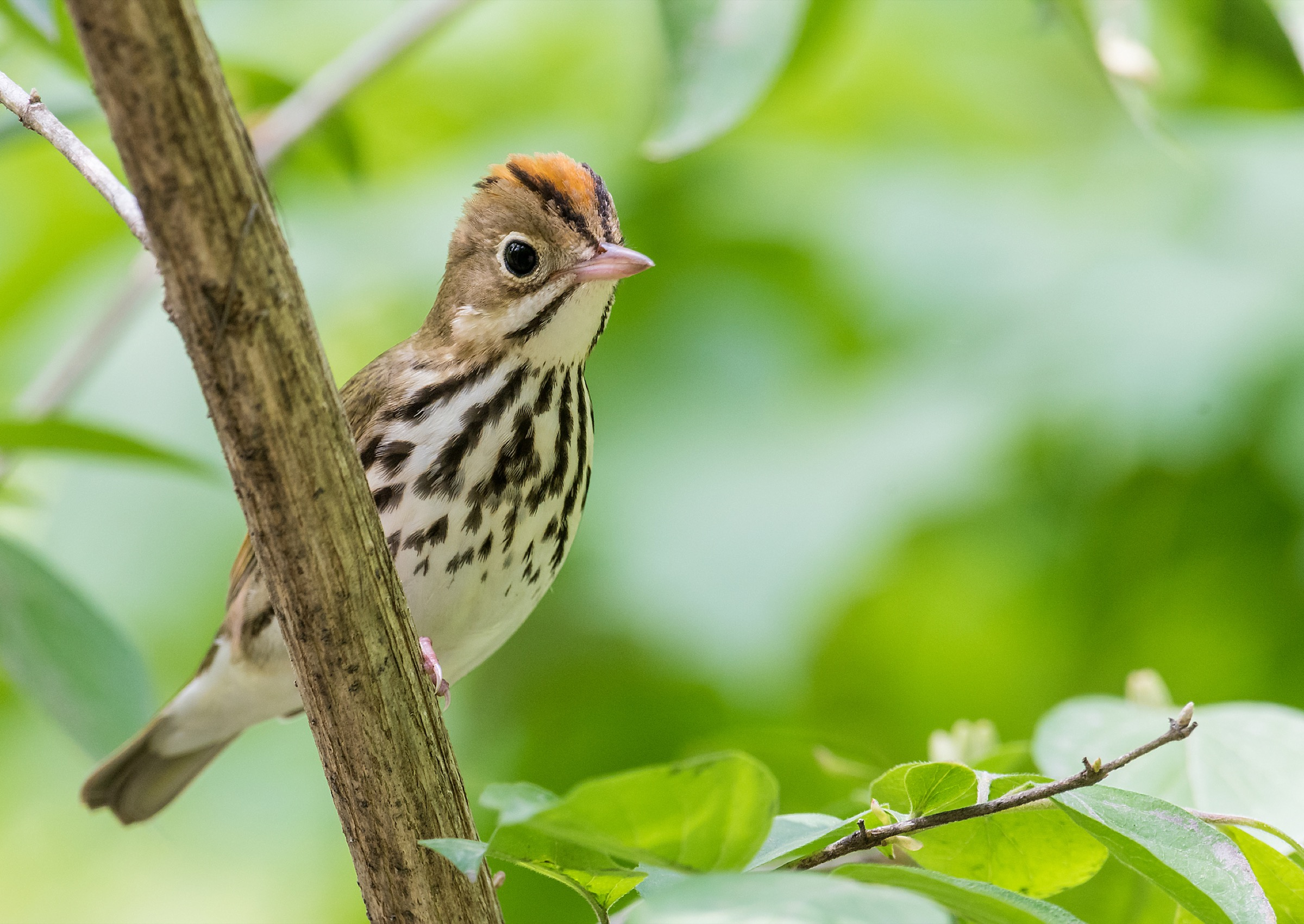 The ovenbird (Seiurus aurocapilla)—a migratory songbird that breeds in eastern North America and winters in Central and South America—is one of 14 species that Gonzalez and his team have profiled in an effort to inform urban-planning decisions around Montreal. Photograph by Larry Keller/Getty