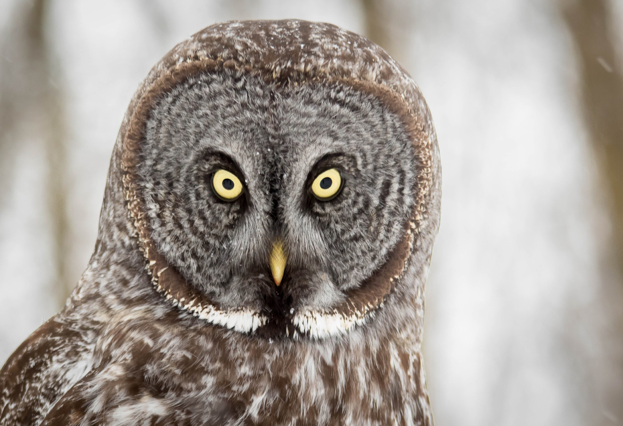 The great grey owl (Strix nebulosa), a top predator in the region, is a sign of a healthy ecosystem. Photograph by fireman23/Getty