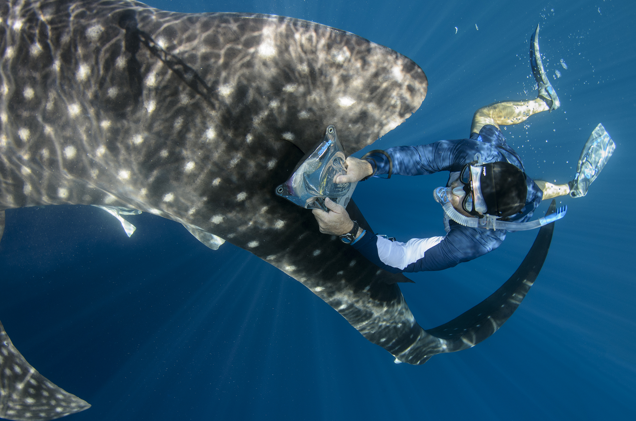 A scientist runs a portable tag reader along the side of a whale shark in search of a PIT tag. These tags, placed under the skin of the sharks, enable researchers to track the movements of individuals over the course of their lifetimes.