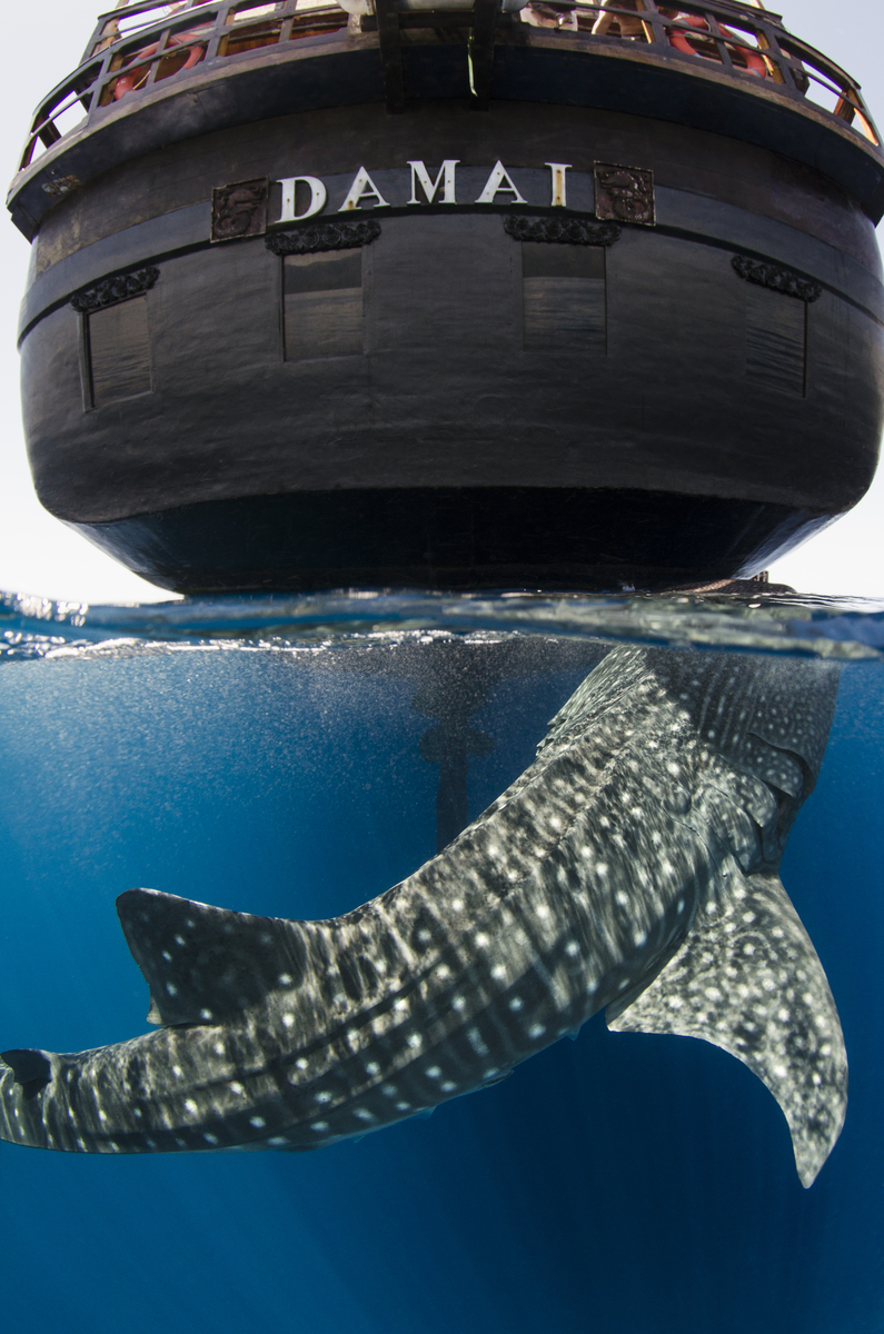 A whale shark surfaces beneath the Indonesian sailboat, the Damai, which served as the photographer's home based while in Cenderawasih Bay.