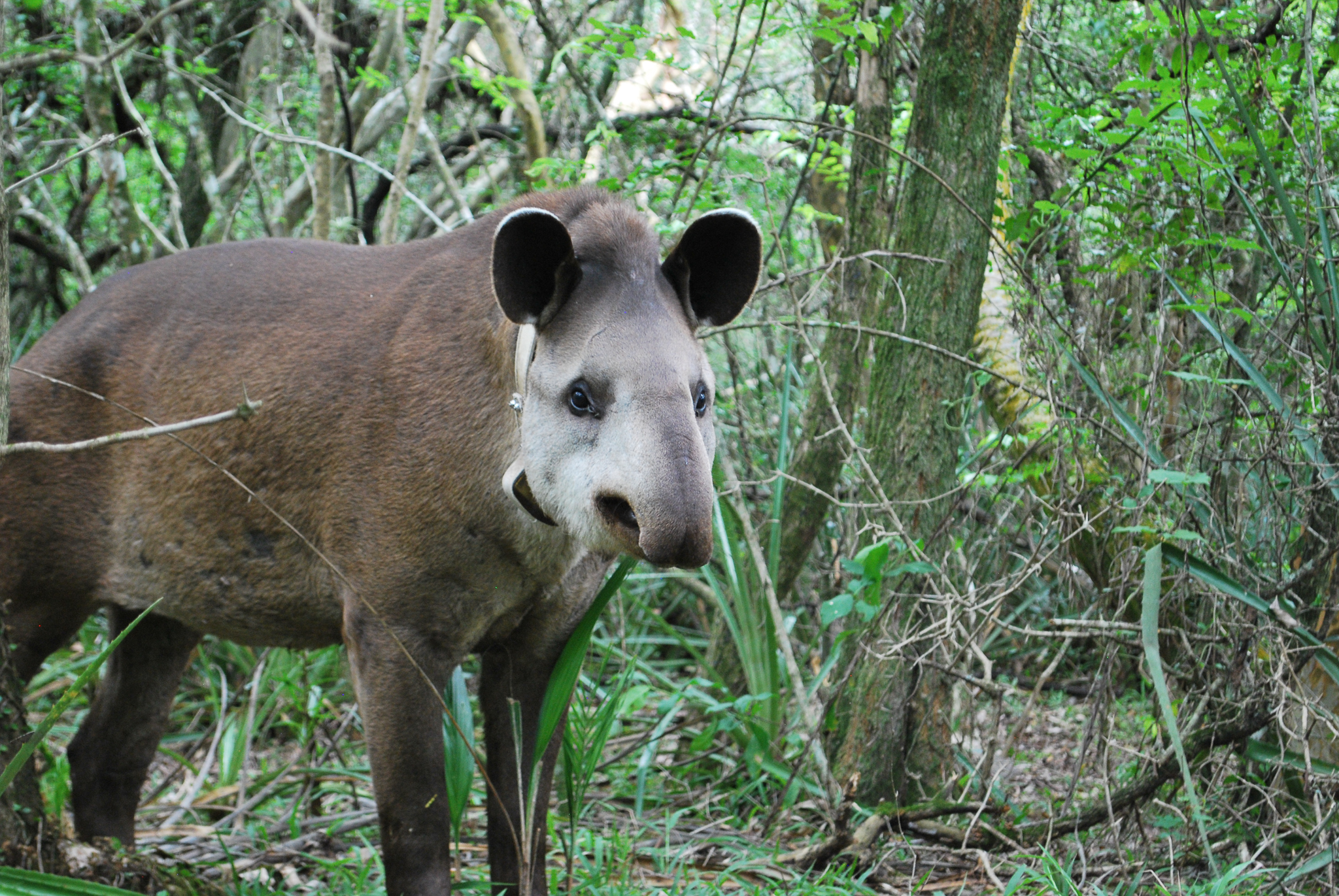 Nato, a female tapir, three weeks after she was released into the wild—Photo by Brooke Jarvis