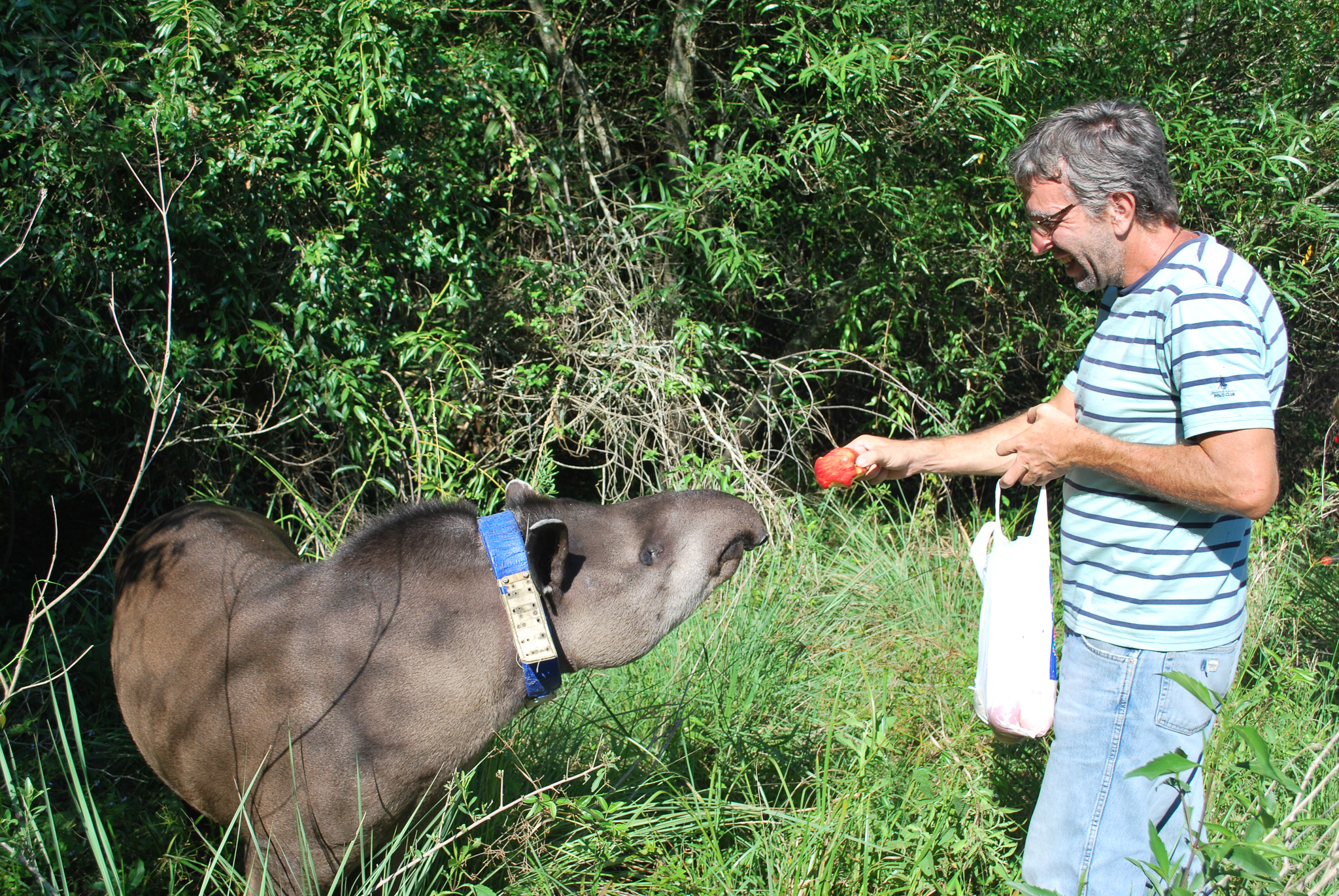 Sebastián Di Martino offers a piece of fruit to Francisco, a recently released tapir.—Photo by Brooke Jarvis