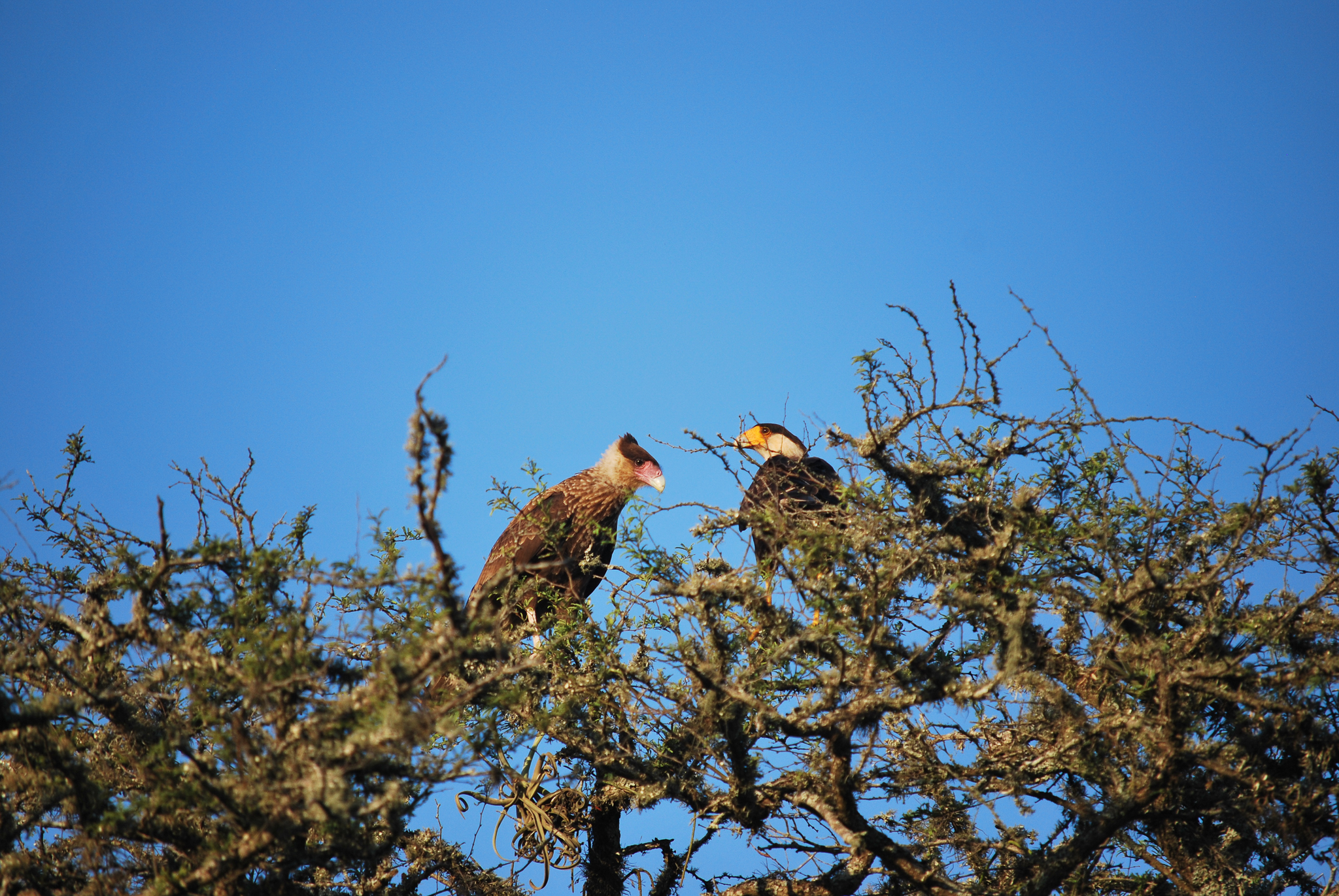 Two caracaras rest in a tree in Iberá.—Photo by Brooke Jarvis