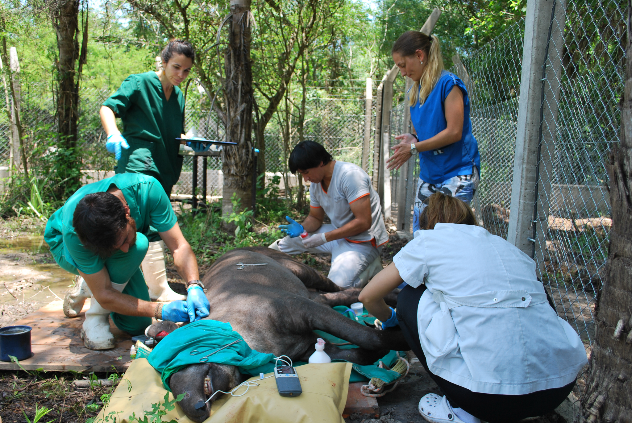 A quarantined tapir is anaesthetized for an extensive check-up.—Photo by Brooke Jarvis