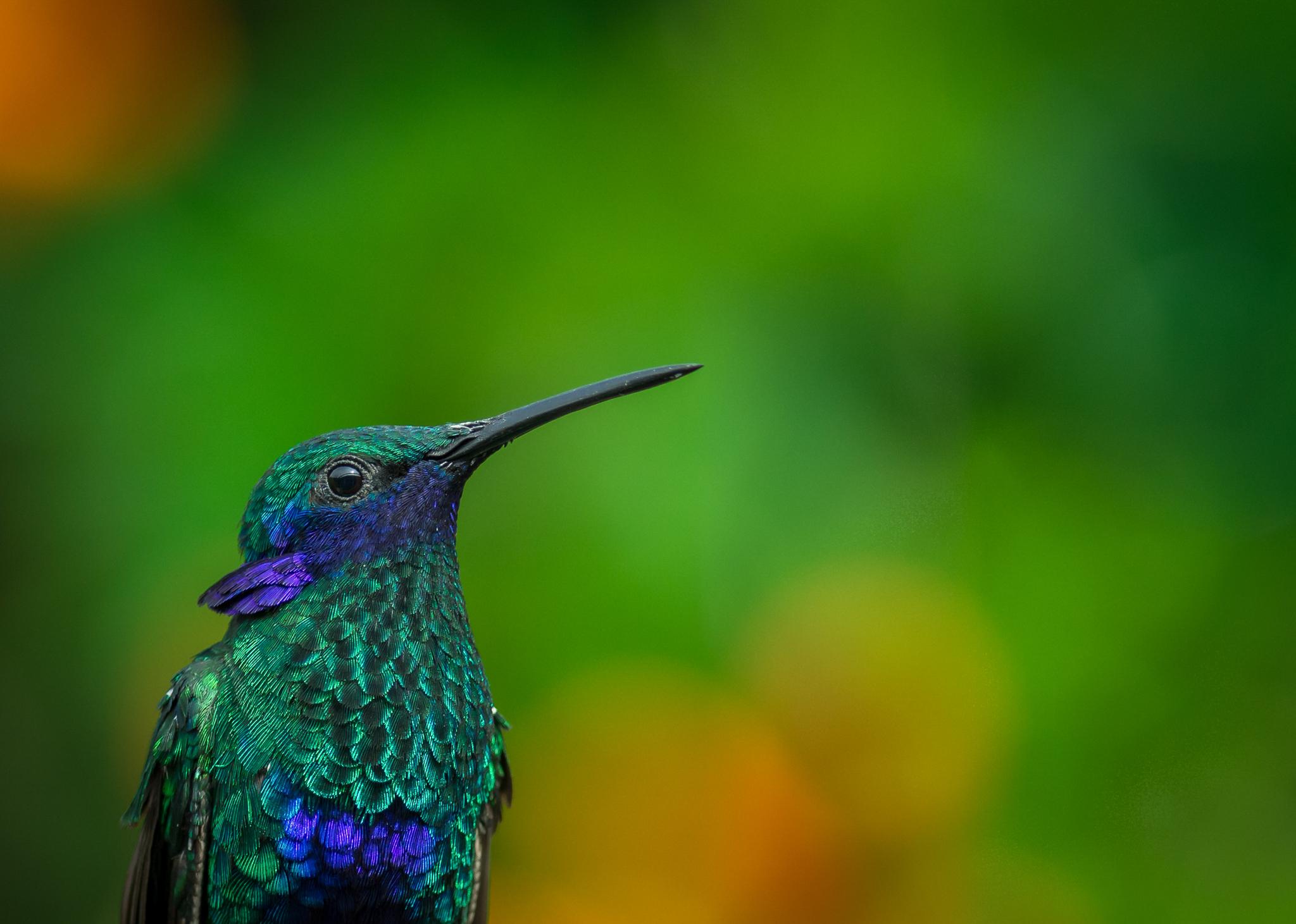 A sparkling violet-ear (Colibri coruscans) near San Francisco, a small town in central Colombia. Photograph by Sebastian Di Domenico