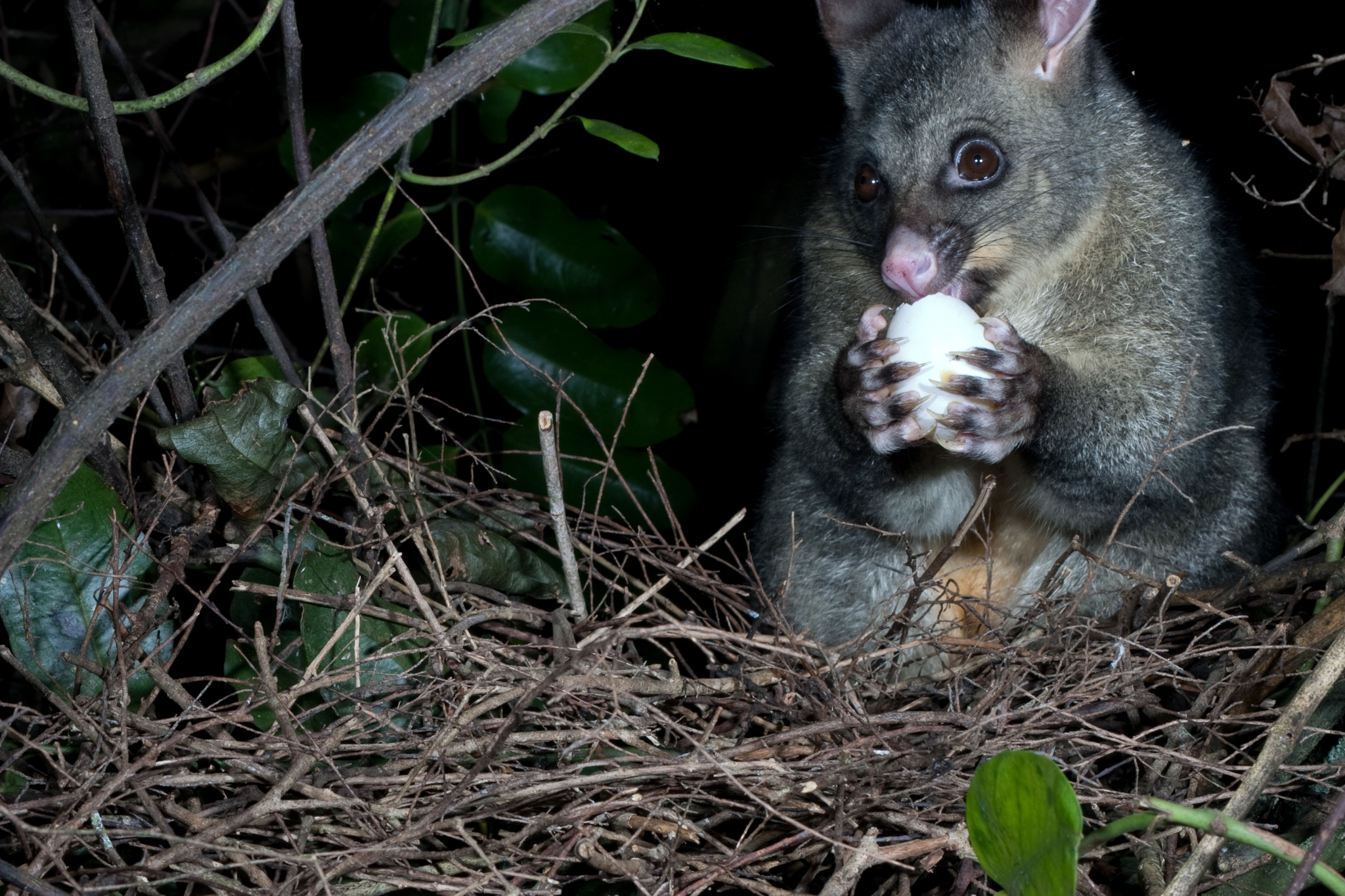 A brushtail possum (Trichosurus vulpecula) scavenges the egg of a native New Zealand pigeon (Hemiphaga novaeseelandiae) from its nest. In addition to direct predation, the possums also compete with the birds for the fruit on which they feed. Photograph copyright Nga Manu