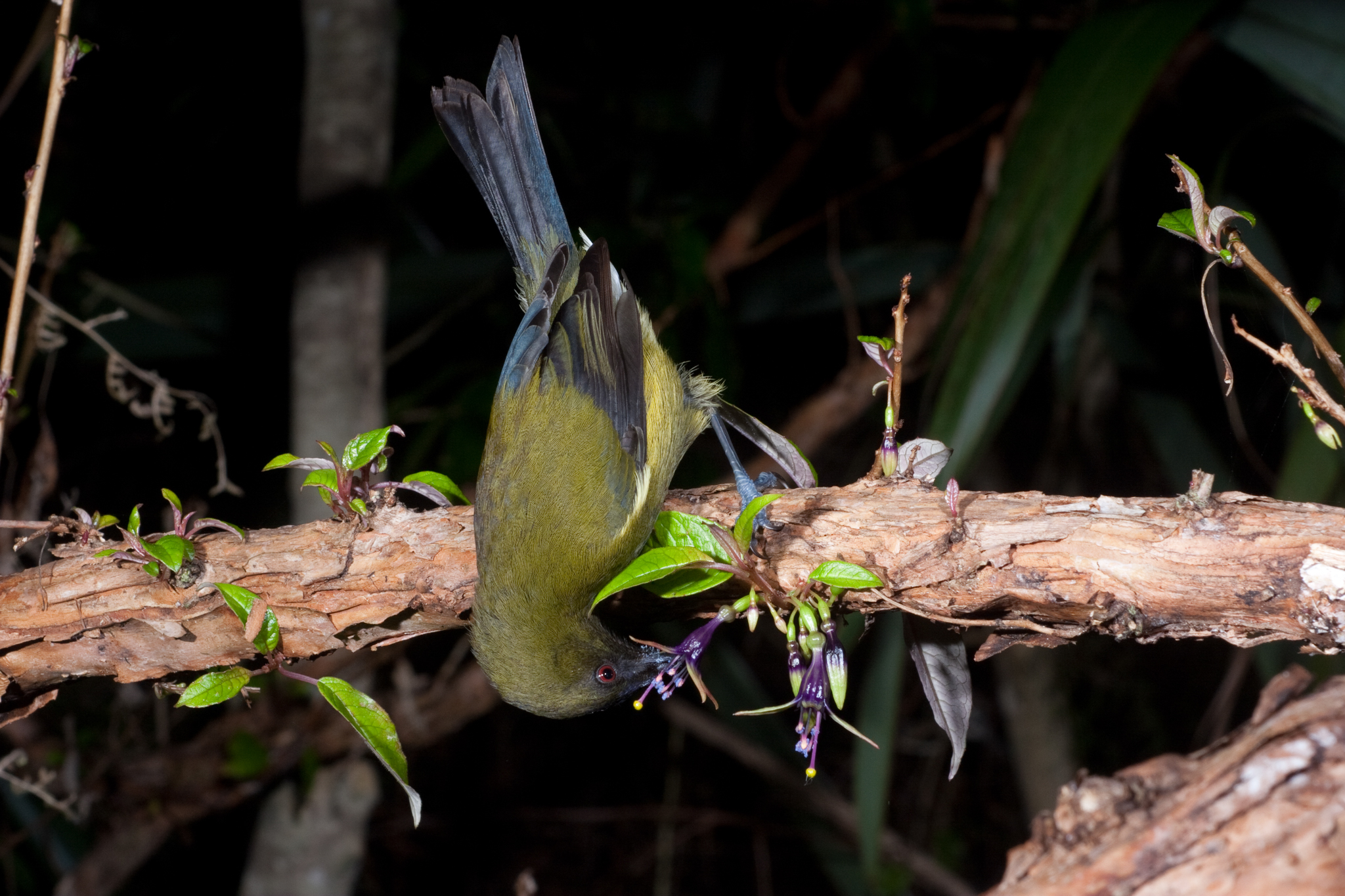 A bellbird (Anthornis melanura) feeds on nectar from a fuchsia tree (Fuchsia excorticata). The bird gets its name from its bell-like vocalizations, which have been appreciated by modern birders and early European explorers alike. Photograph copyright Nga Manu