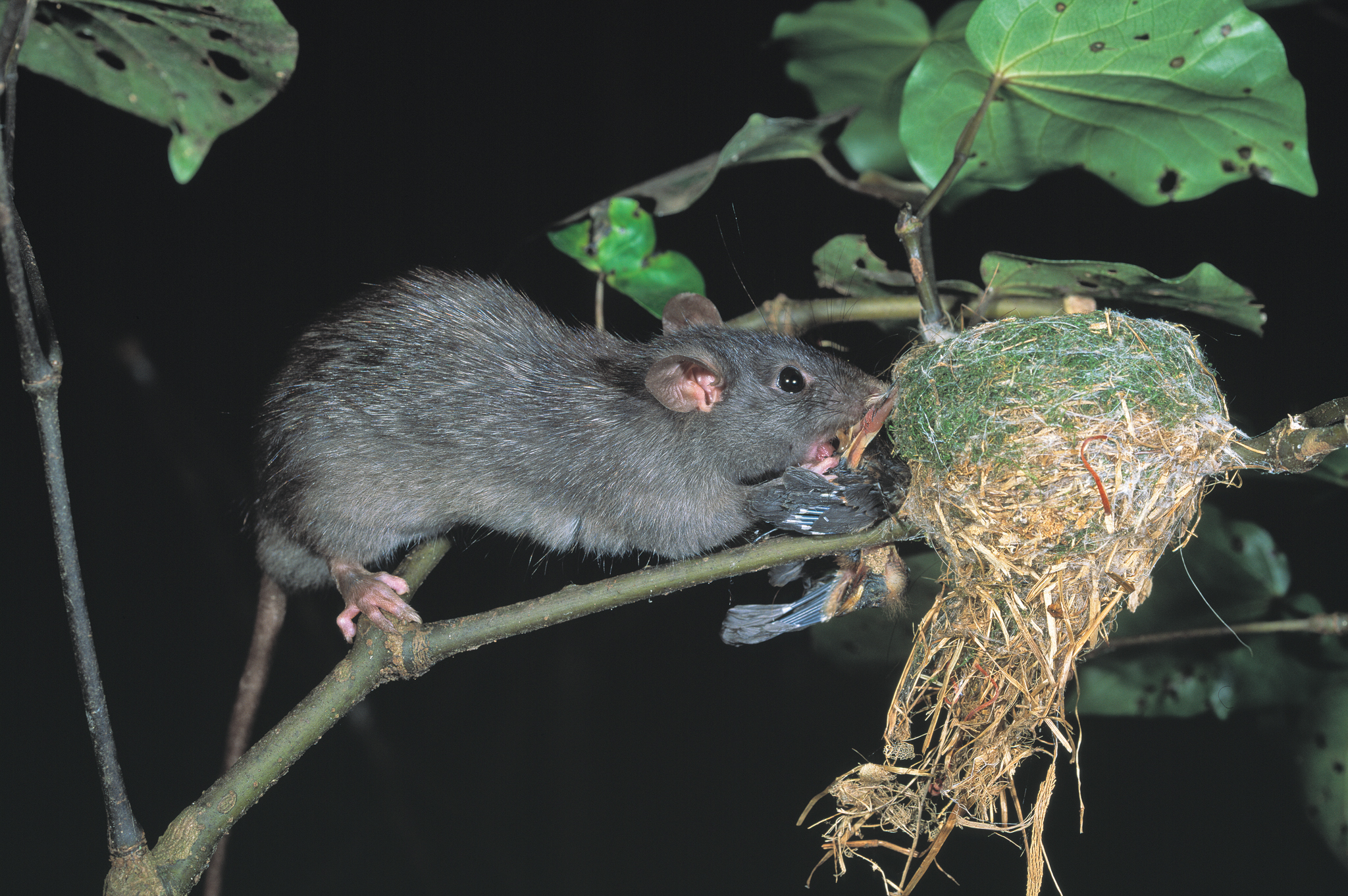 A ship rat (Rattus rattus) preys on a New Zealand fantail (Rhipidura fuliginosa). The birds, known locally as a Piwakawaka, use spider webs to hold together their cup-like nests. Photograph copyright Nga Manu