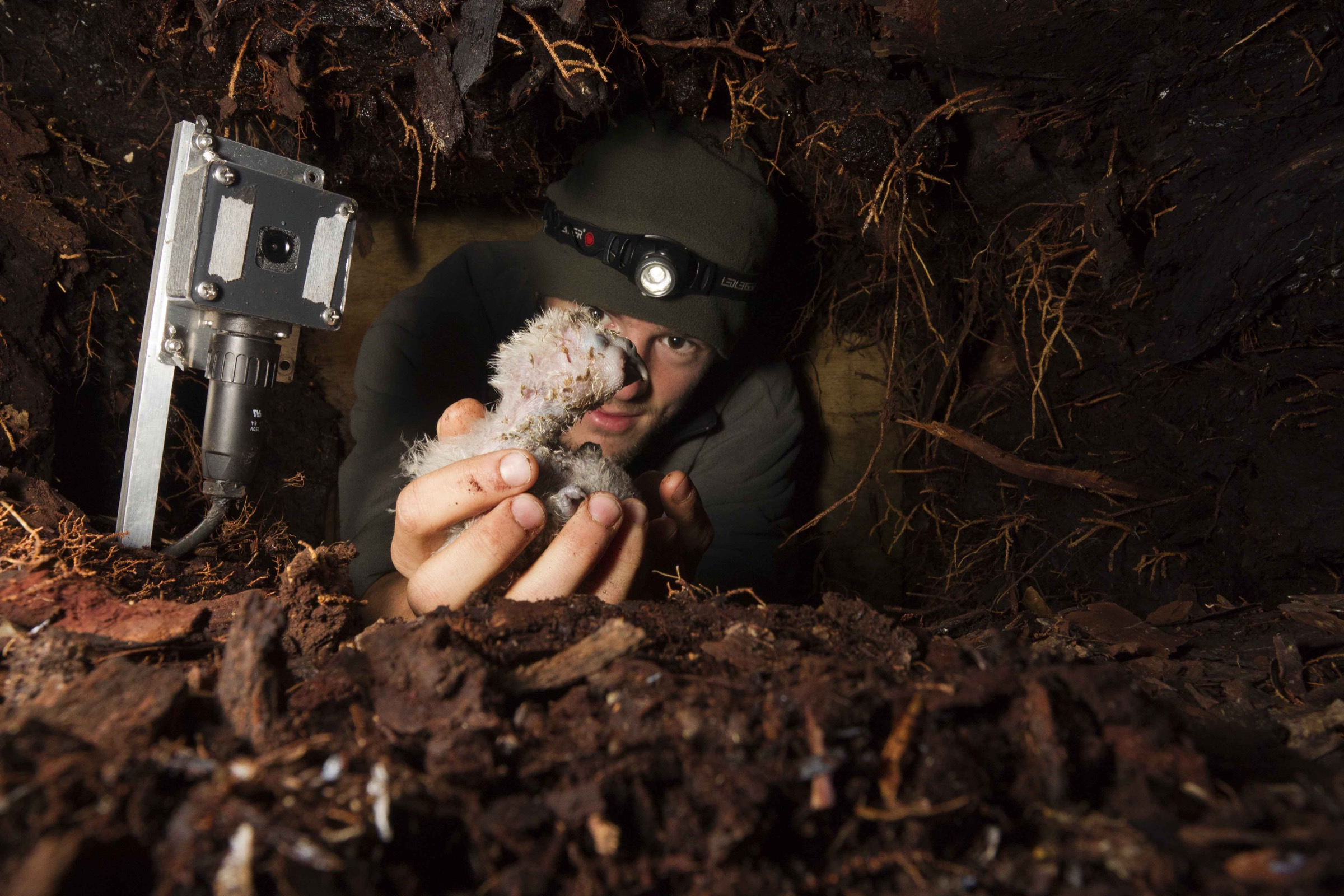Kakapo Ranger Tim Raemaekers picks up a kakapo chick inside its underground nest. Since parental care is often lacking, an infrared camera is placed inside each nest to monitor how often and how much the female feeds each chick.