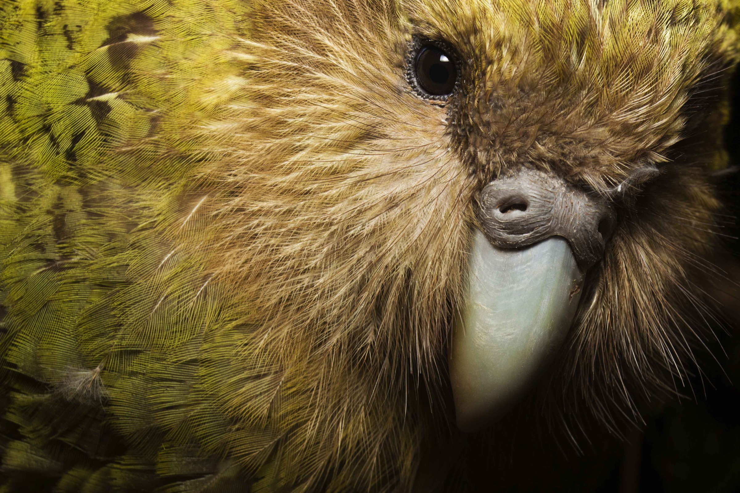 "This close-up shows why early settlers to New Zealand often called the birds ""owl parrots."""