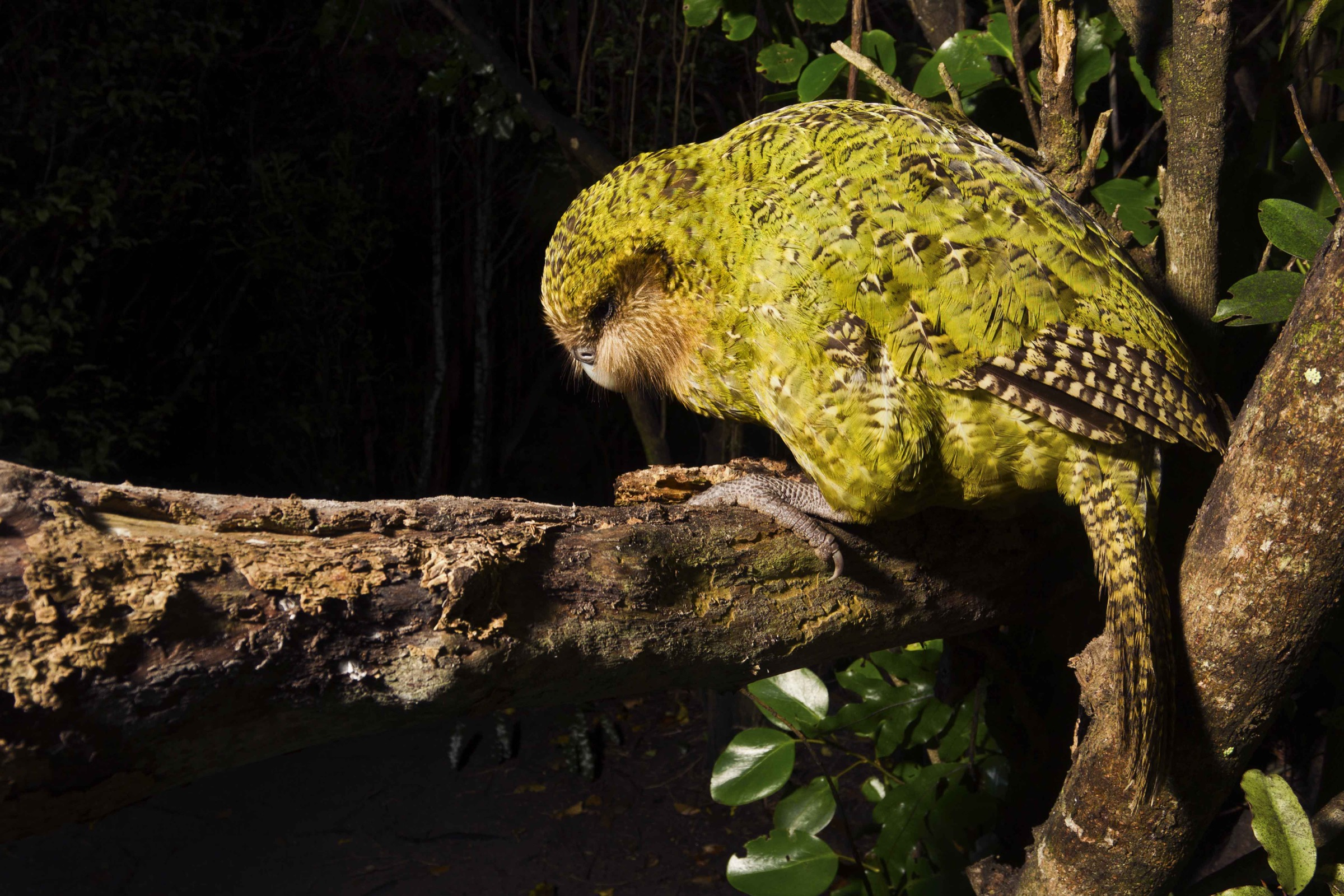 The kakapo is the heaviest parrot in the world. It cannot fly, so instead it uses its powerful legs to climb through the forest at night.
