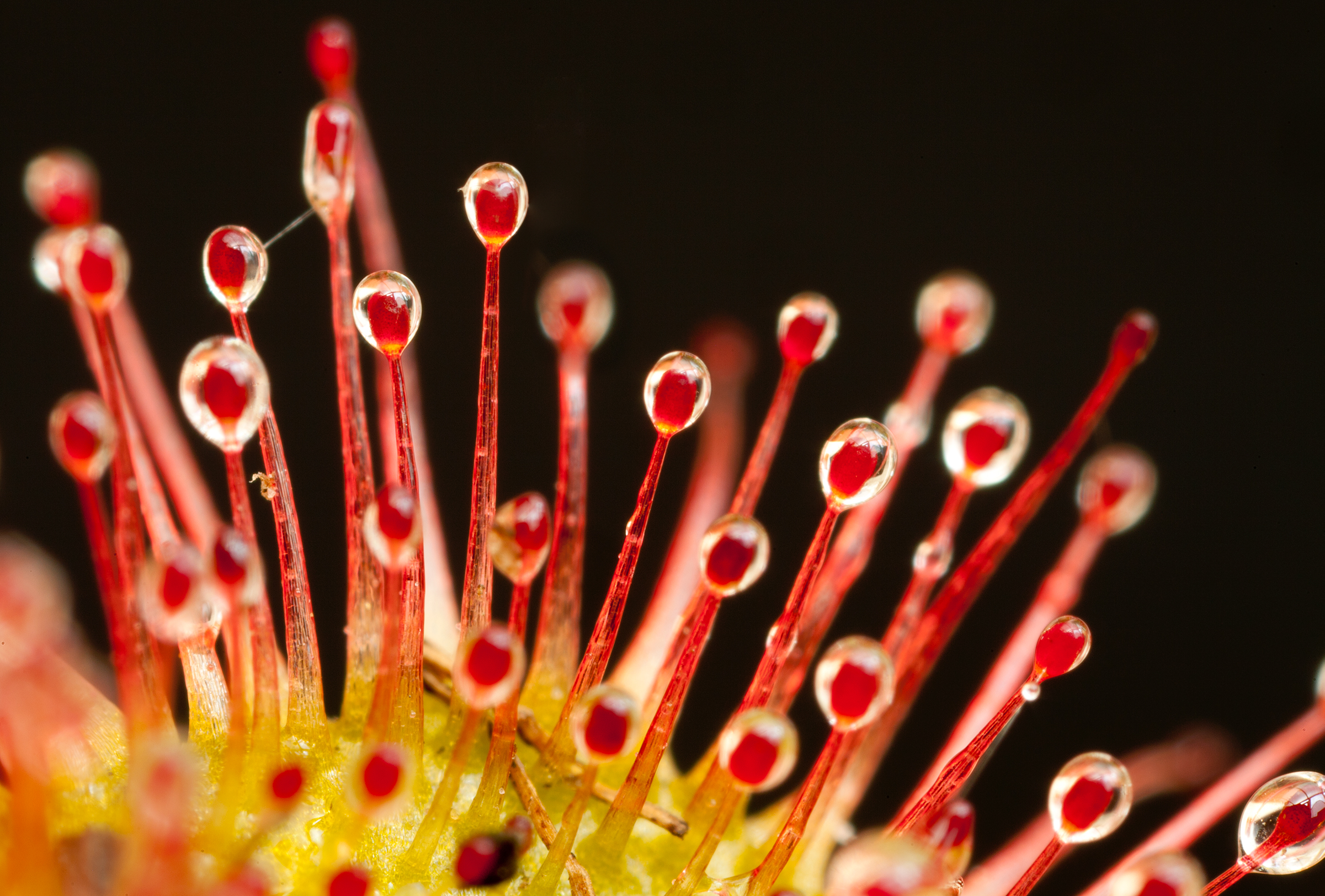Sundews like this specimen photographed in Peak District National Park use sticky droplets to capture passing insects, a food source that provides nutrients the plants here can't obtain from the soil.