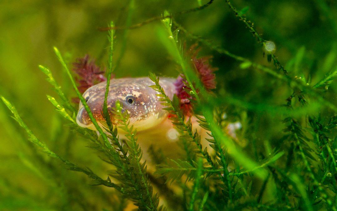 Barton Springs Salamander (Eurycea sosorum)
