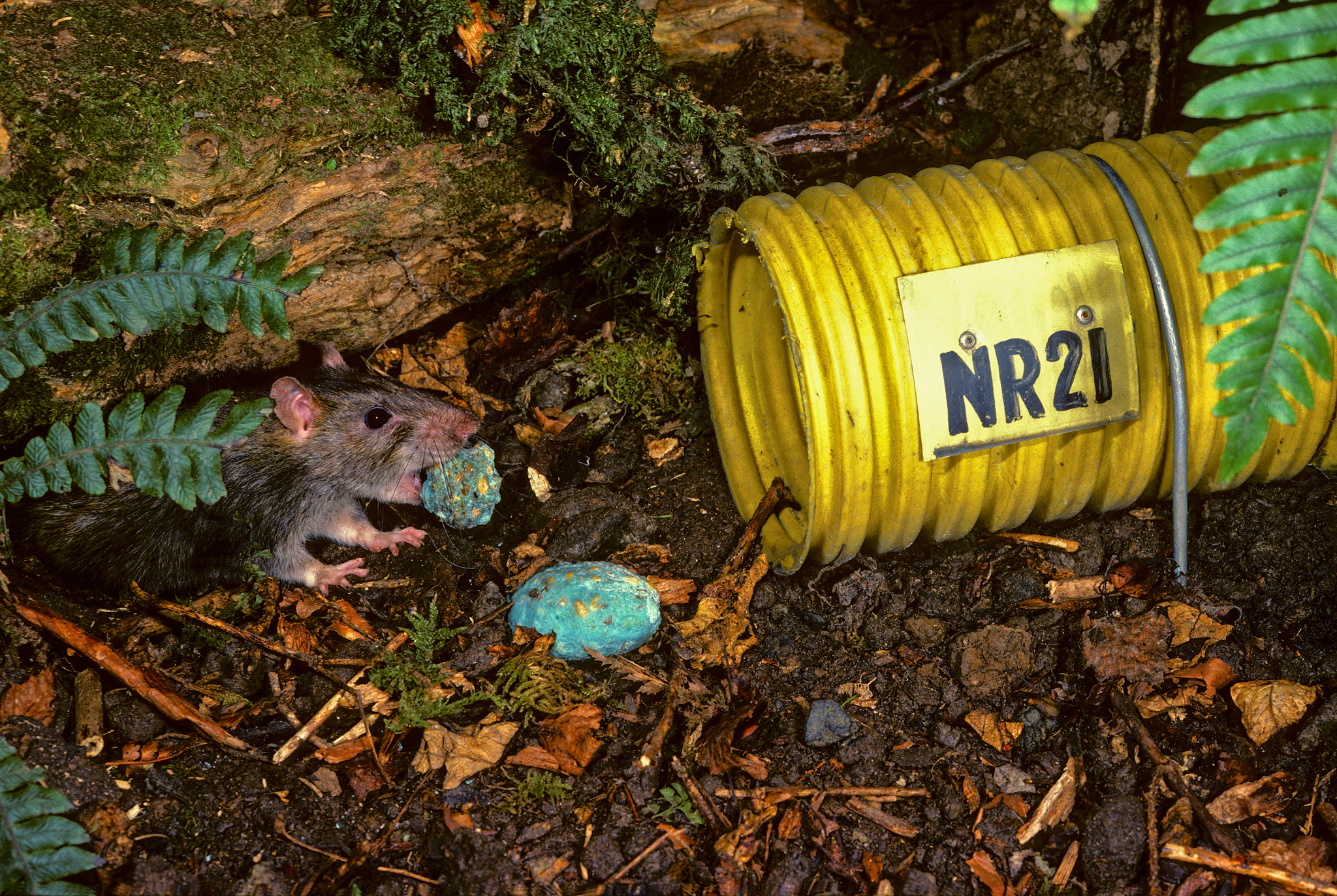 A Norway rat (Rattus norvegicus) snatches poisoned bait on Breaksea Island in Fiordland National Park. Bait stations like these eventually led to the eradication of rats from the island, and other islands followed. Photograph by Rod Morris / www.rodmorris.co.nz