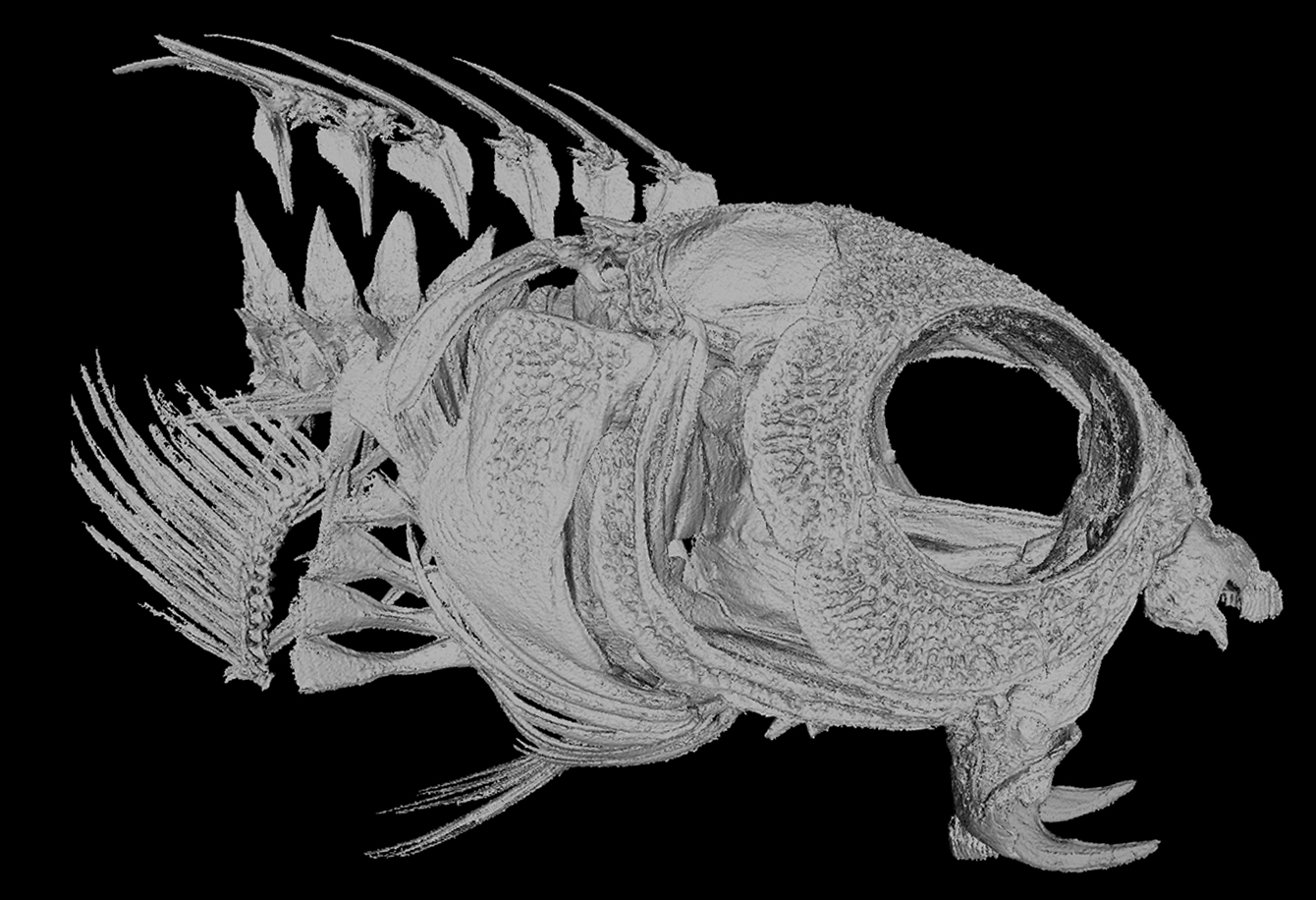 A CT scan of a fangblenny skull showing the fish's highly modified fangs—Image by Bryan Fry