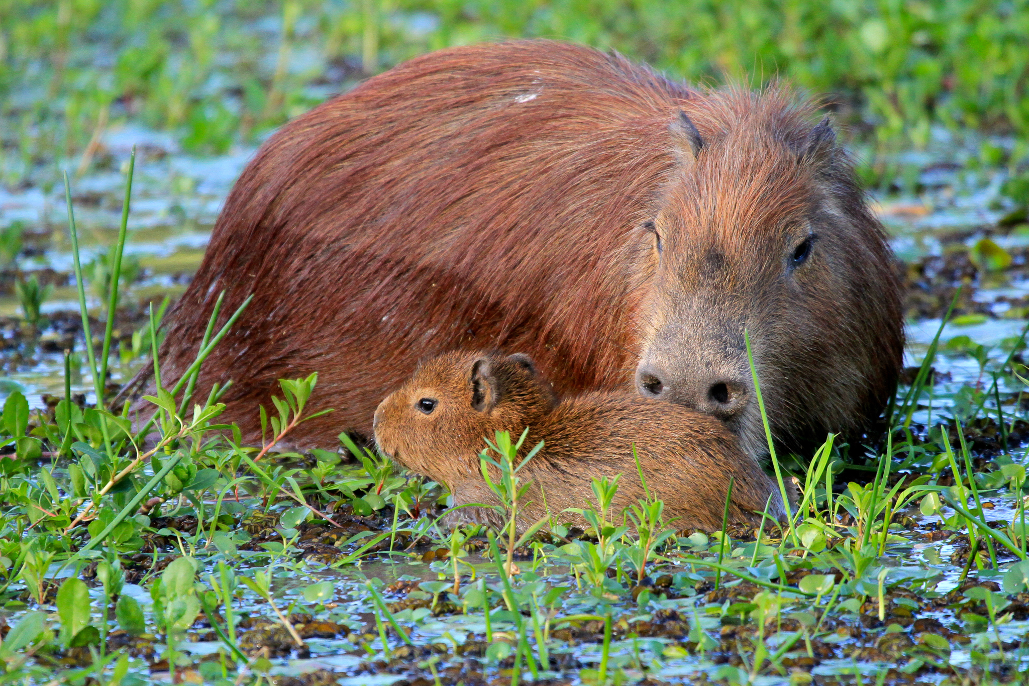 A female capybara with one of its litter in a lagoon at Rincon del Socorro—Photo by Mike Unwin