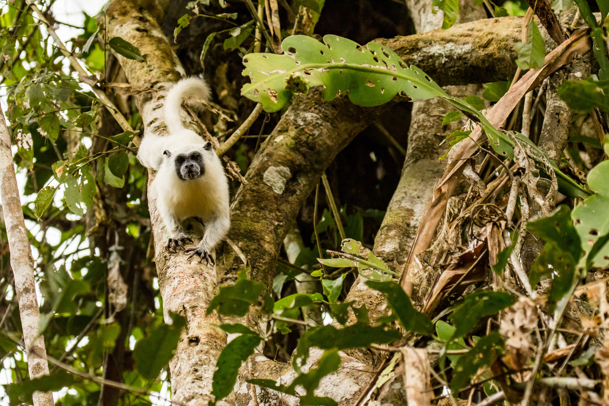 Small rainforest primates, such as this white tamarin (Leontocebus weddelli melanoleucus) are not hunted by locals and are still abundant in the Juruá watershed.