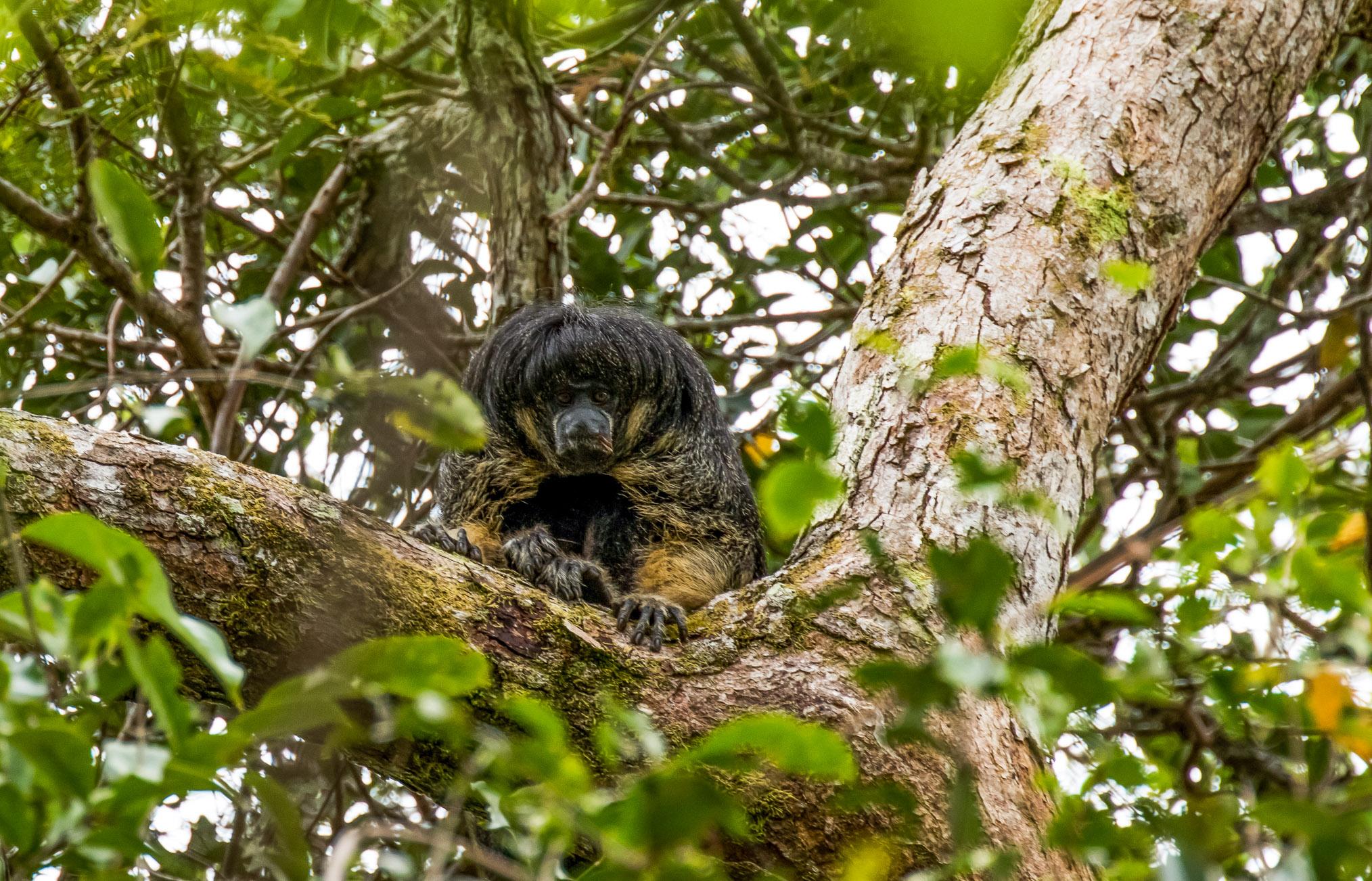 A female Vanzolini saki monkey settles in to watch the researchers.