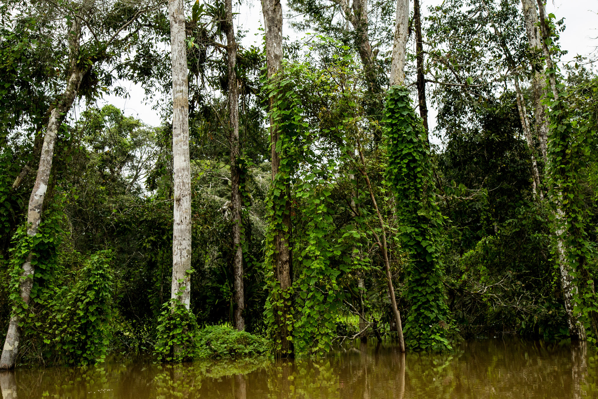 Morning glory vines create thick mats on nearly every vertical surface of the flooded forest.