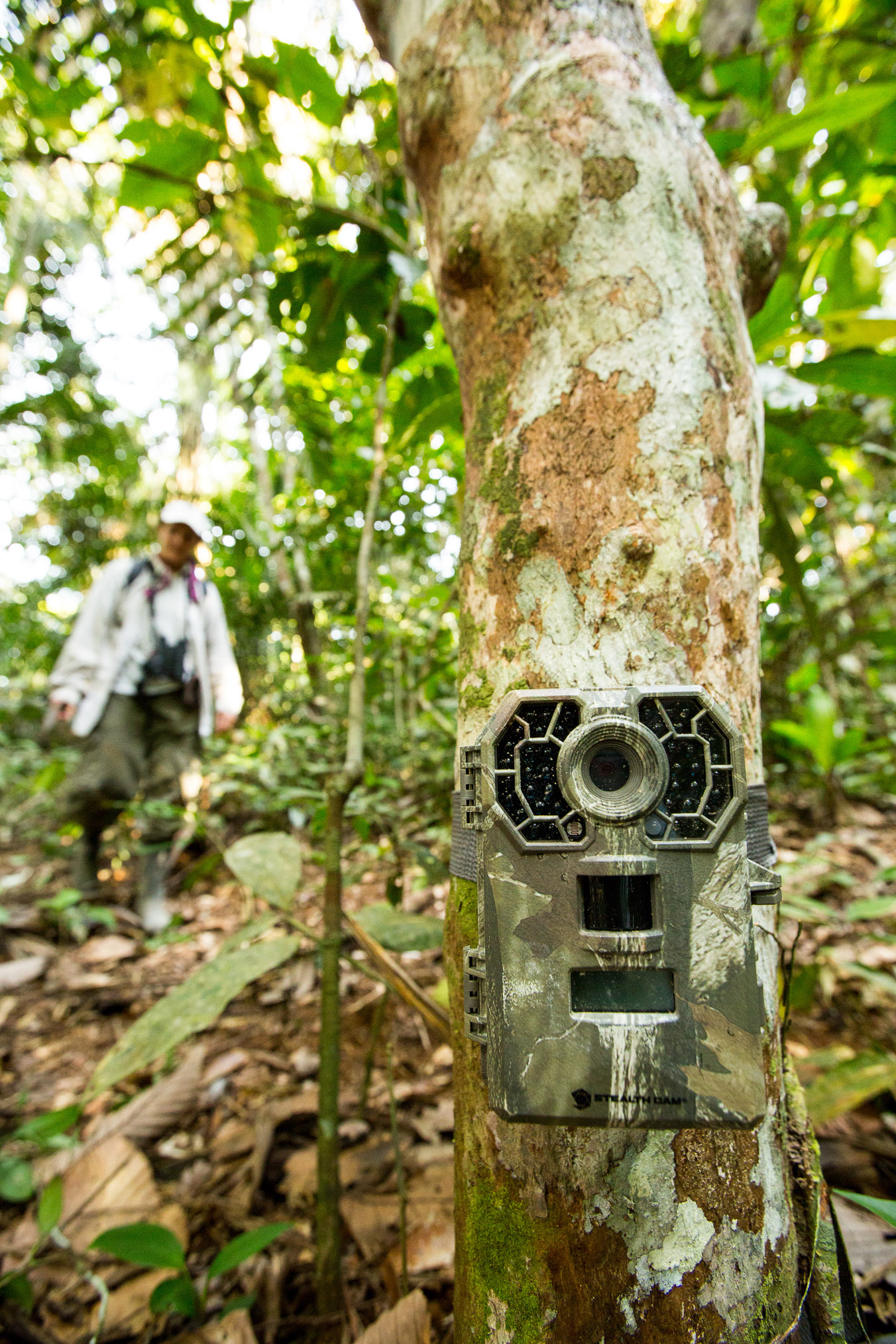 The scientists set camera traps to collect data on mammals such as tapir, paca, deer, agoutis, tayra, peccaries, and pumas that visit salt and clay licks in the Juruá watershed.