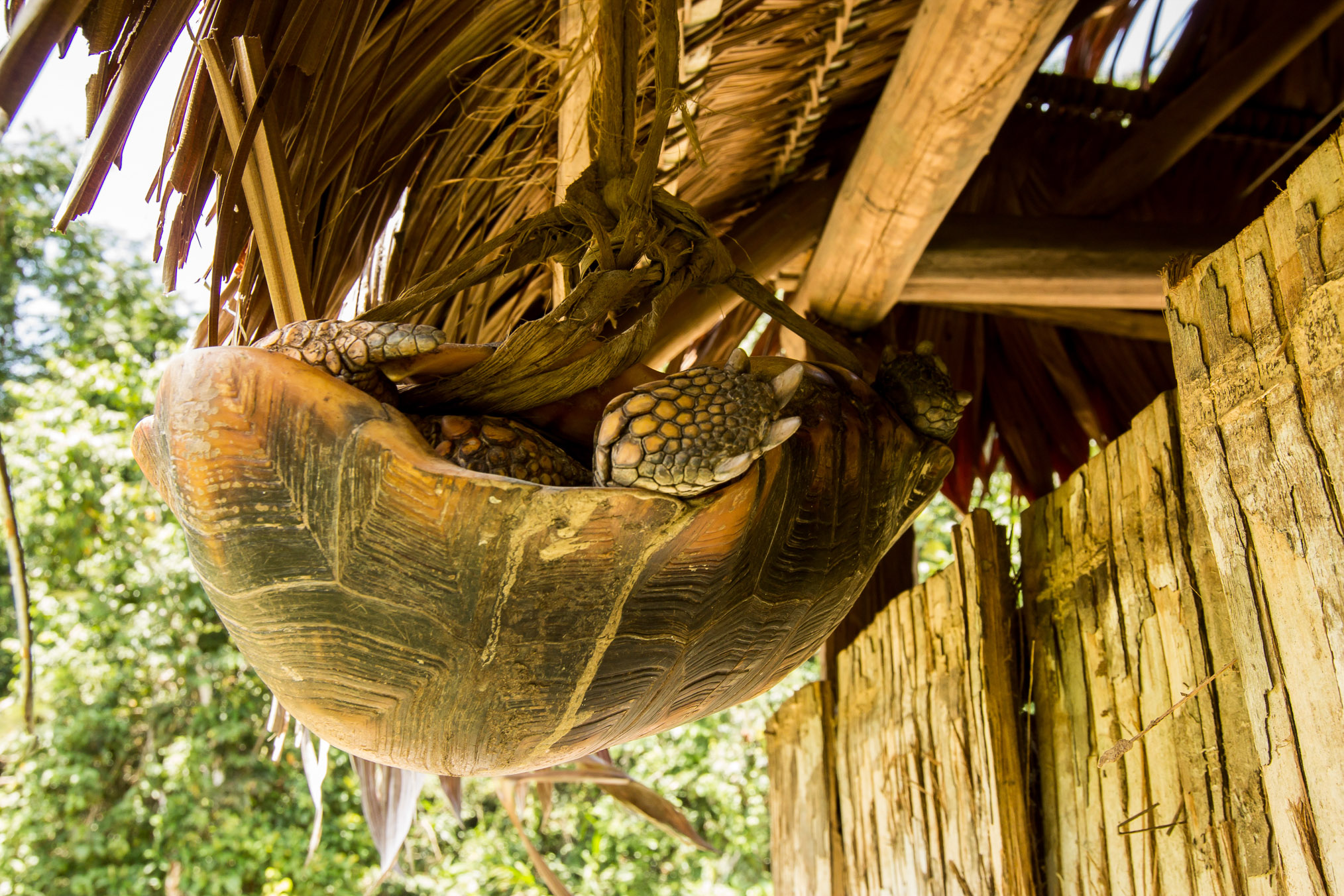 A jambuti, or rainforest tortoise, slated for the dinner plate, hangs from the eave of a family's house. Bushmeat is the main source of protein in subsistence villages and a popular restaurant menu item in Amazonian cities.