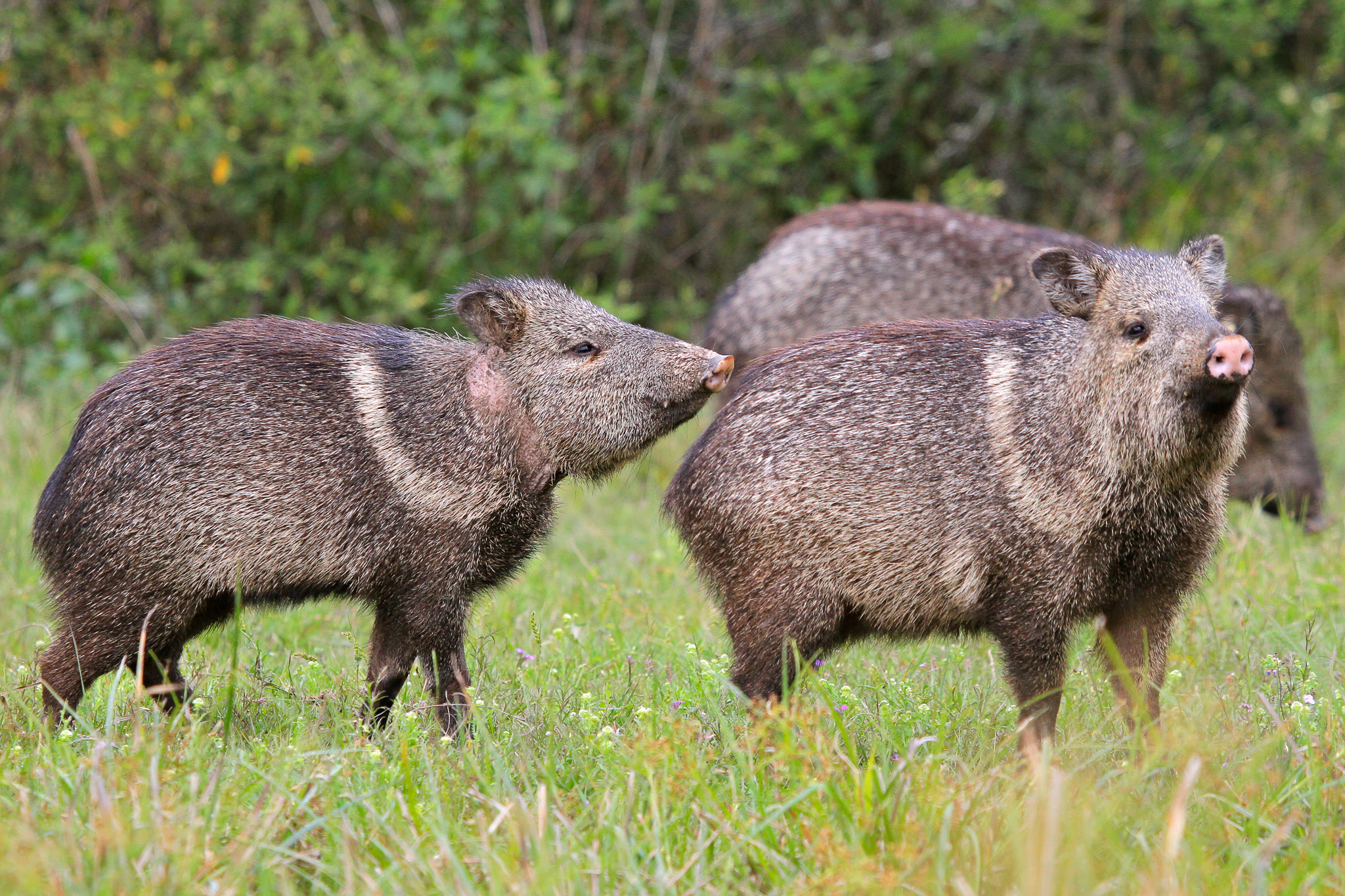 Collared peccaries have been reintroduced to the Iberá wetlands as part of an ambitious rewilding project. —Photo by Mike Unwin
