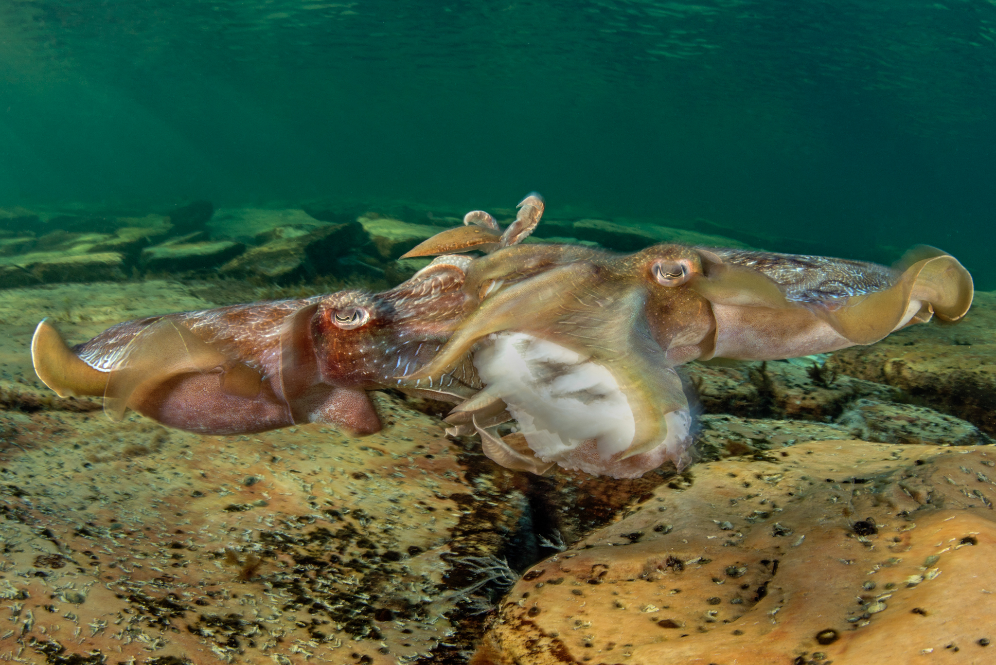 In a rarely witnessed scene, two cuttlefish fight over the body of a dead one, presumably in the hopes of feeding on the carcass.