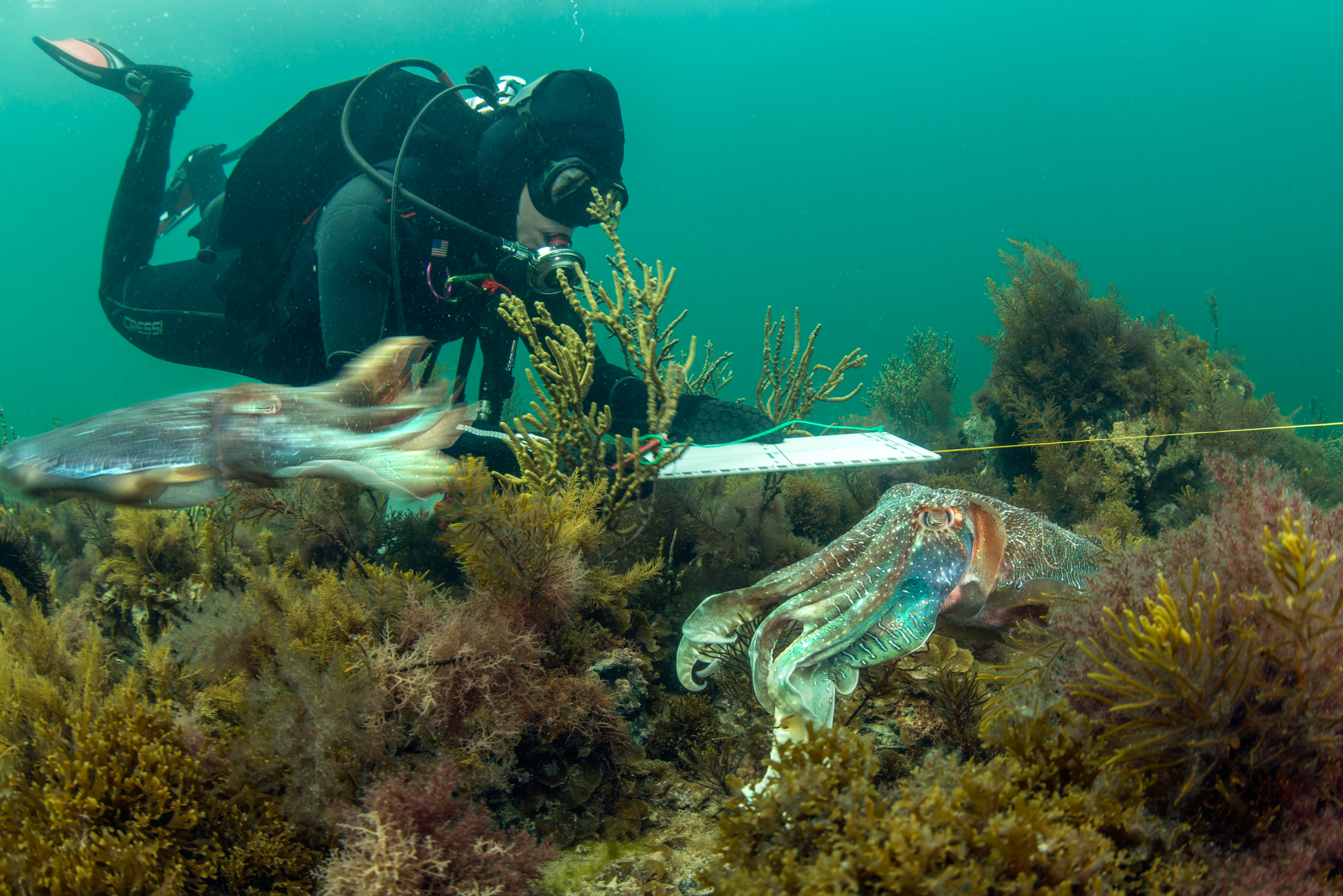 Since the formation of a cross-government cuttlefish working group in July 2012, several research projects have investigated concerns about the significant decline of cuttlefish numbers during the annual winter breeding aggregation in the Spencer Gulf.