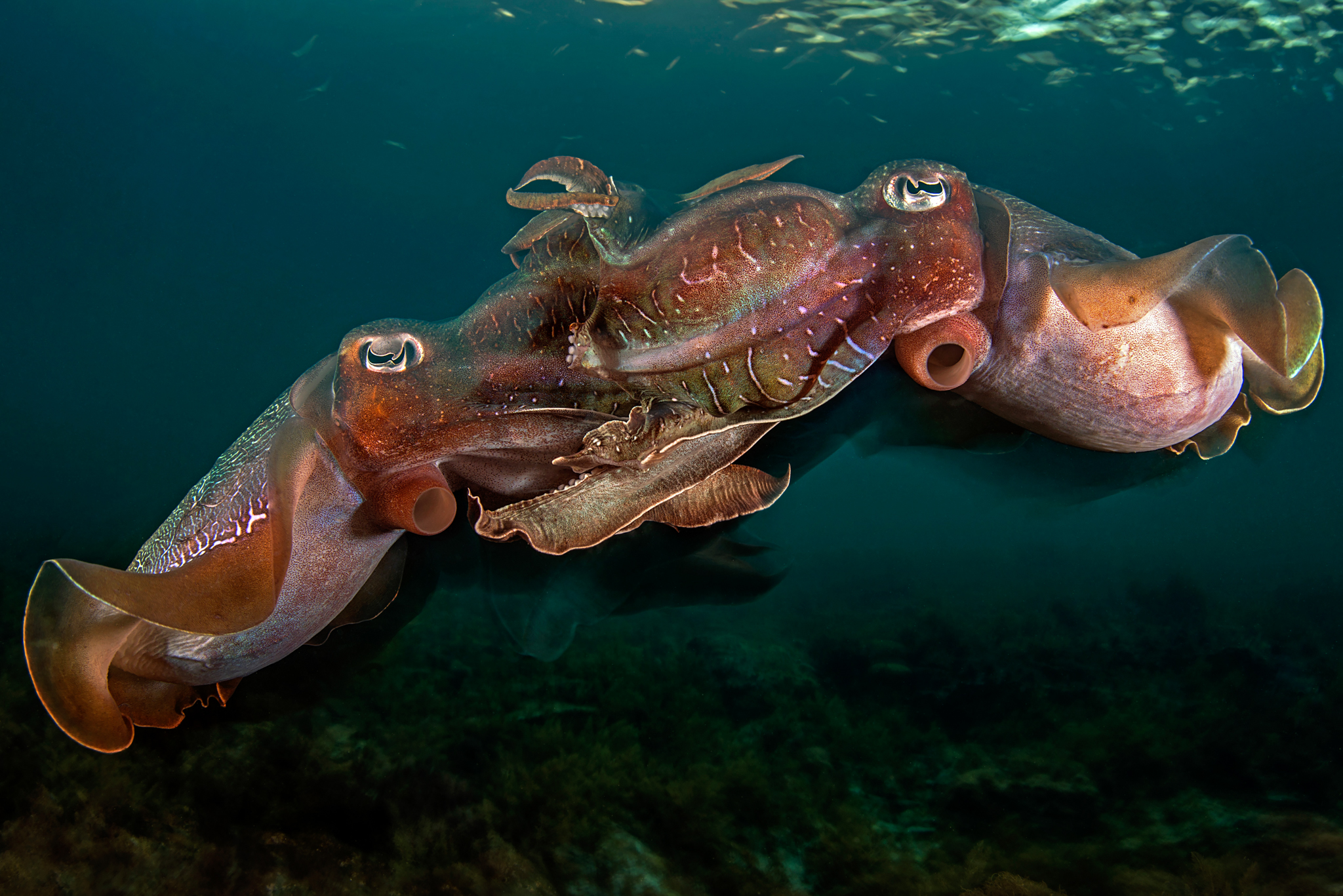 A pair of giant Australian cuttlefish mate at dusk.