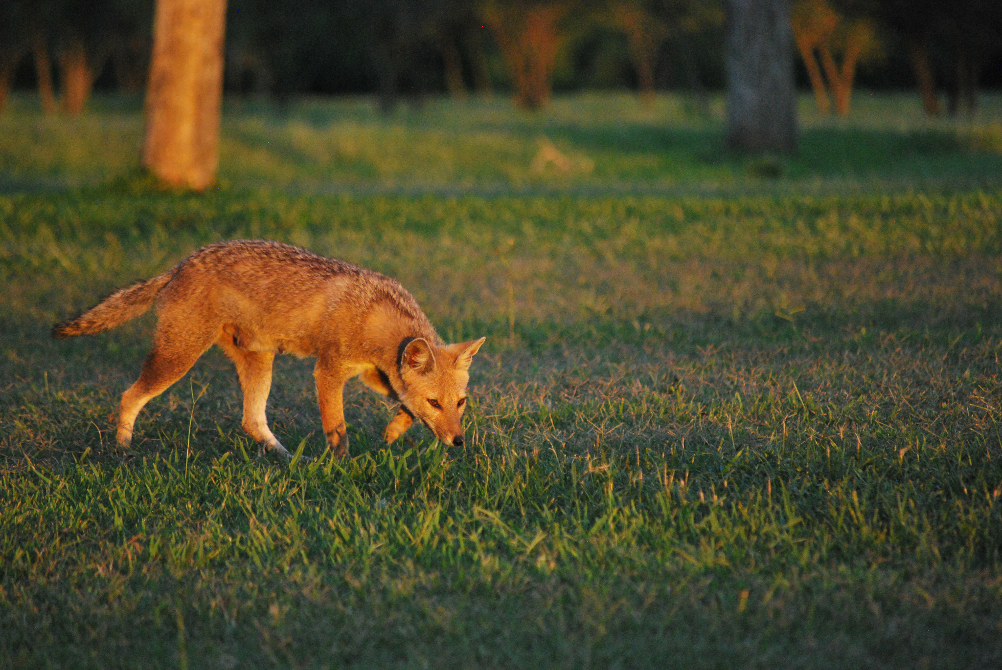 A gray fox in Iberá—Photo by Brooke Jarvis