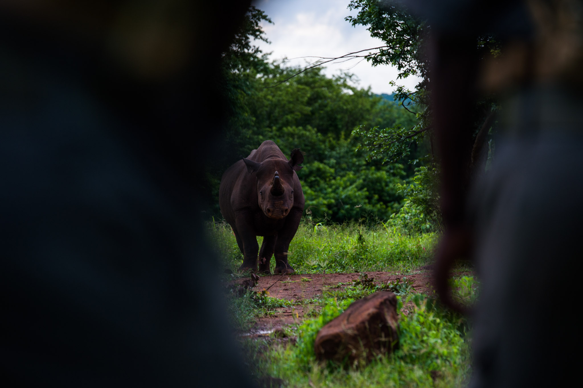 A female black rhino seen between two IAPF anti-poaching rangers in the Stanley and Livingstone Game Reserve, Zimbabwe—Photograph by Michael Hathorn, Ginkgo Agency