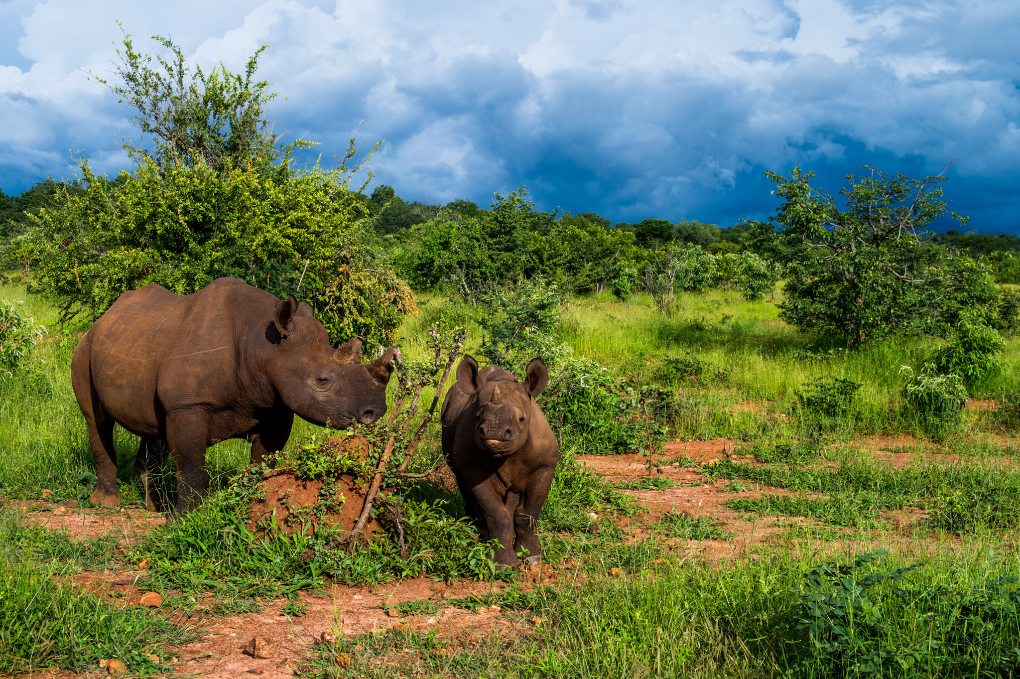 A female black rhino and her calf in the Stanley and Livingstone Game Reserve, Zimbabwe—Photograph by Michael Hathorn, Ginkgo Agency