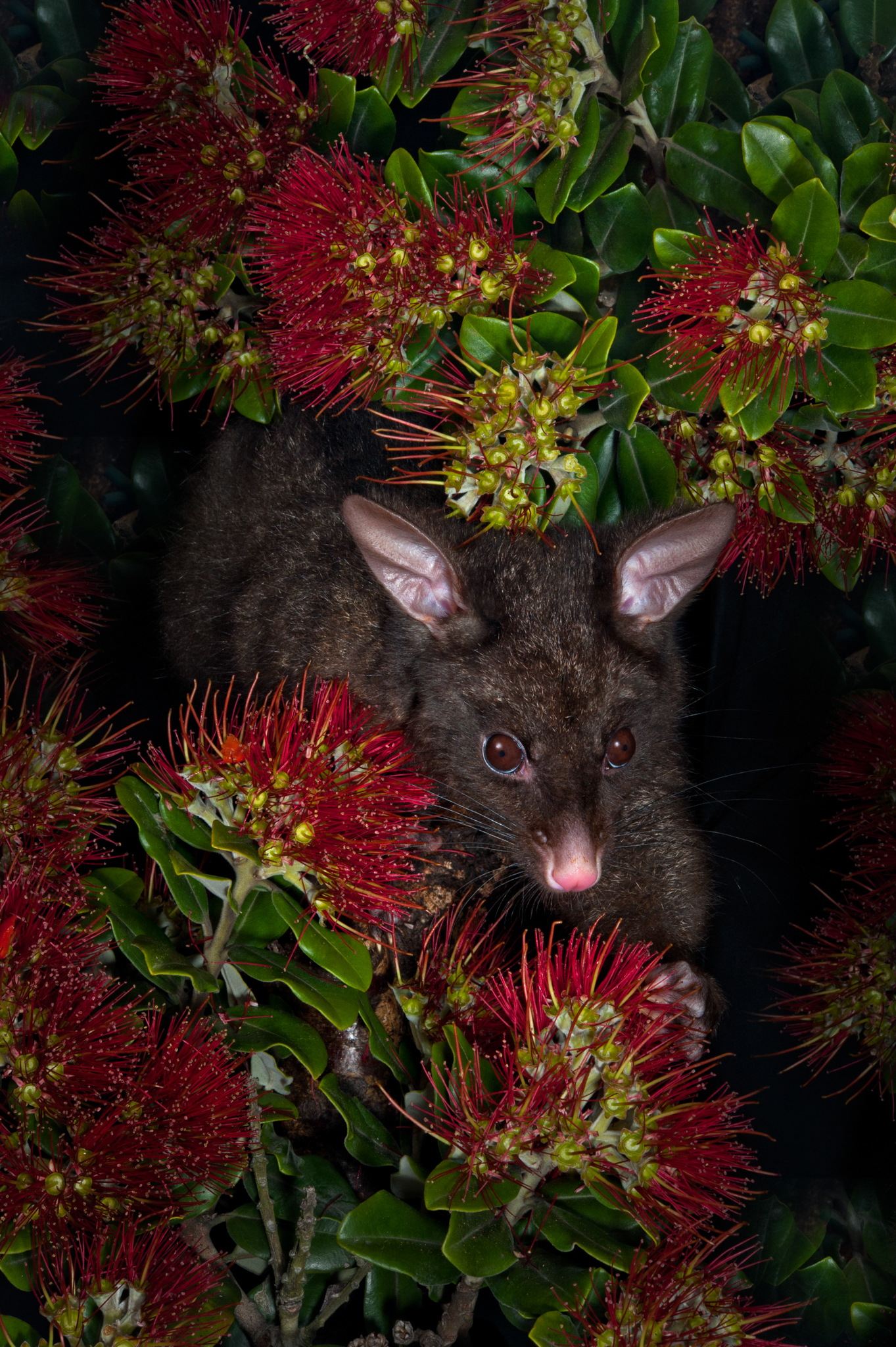 A brushtail possum (Trichosurus vulpecula) eating from a pohutukawa tree (Metrosideros excels). It is a threat to this and other native Metrosideros species. Photograph by Rod Morris / www.rodmorris.co.nz