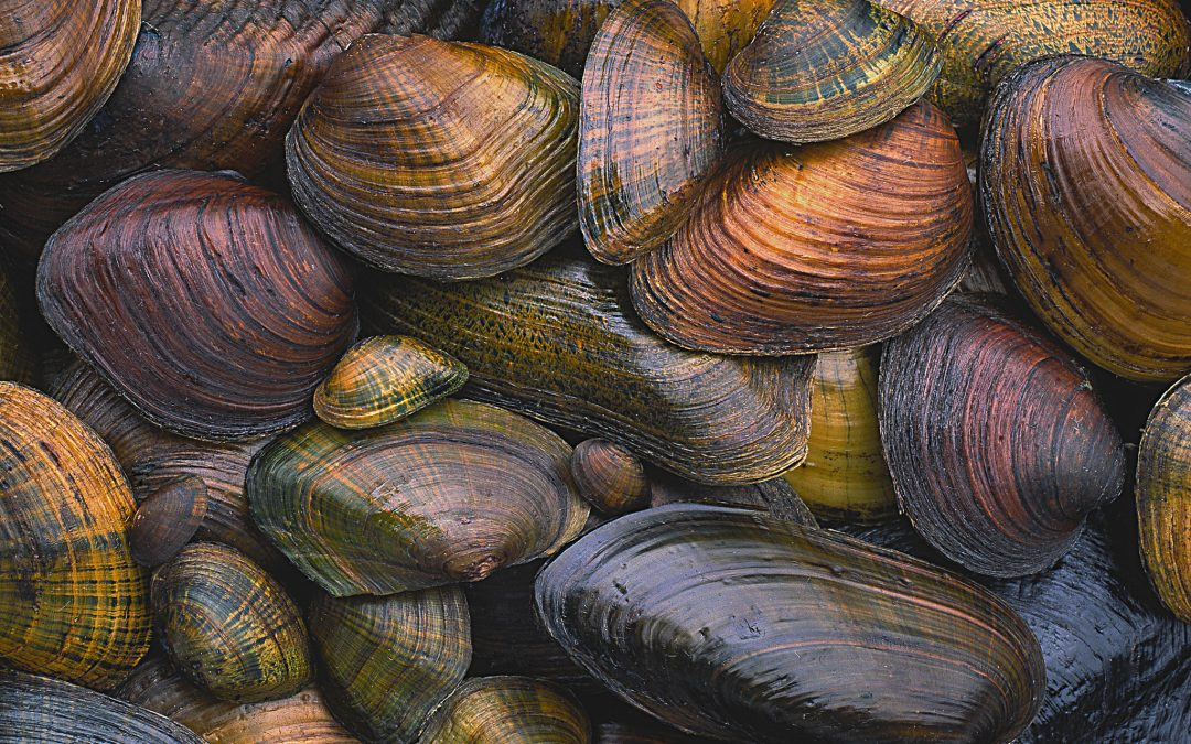 A variety of freshwater mussels illustrates the wide diversity of sizes, shapes and colors in this, the most imperiled group of organisms in the U.S. Photograph by Gary Meszaros